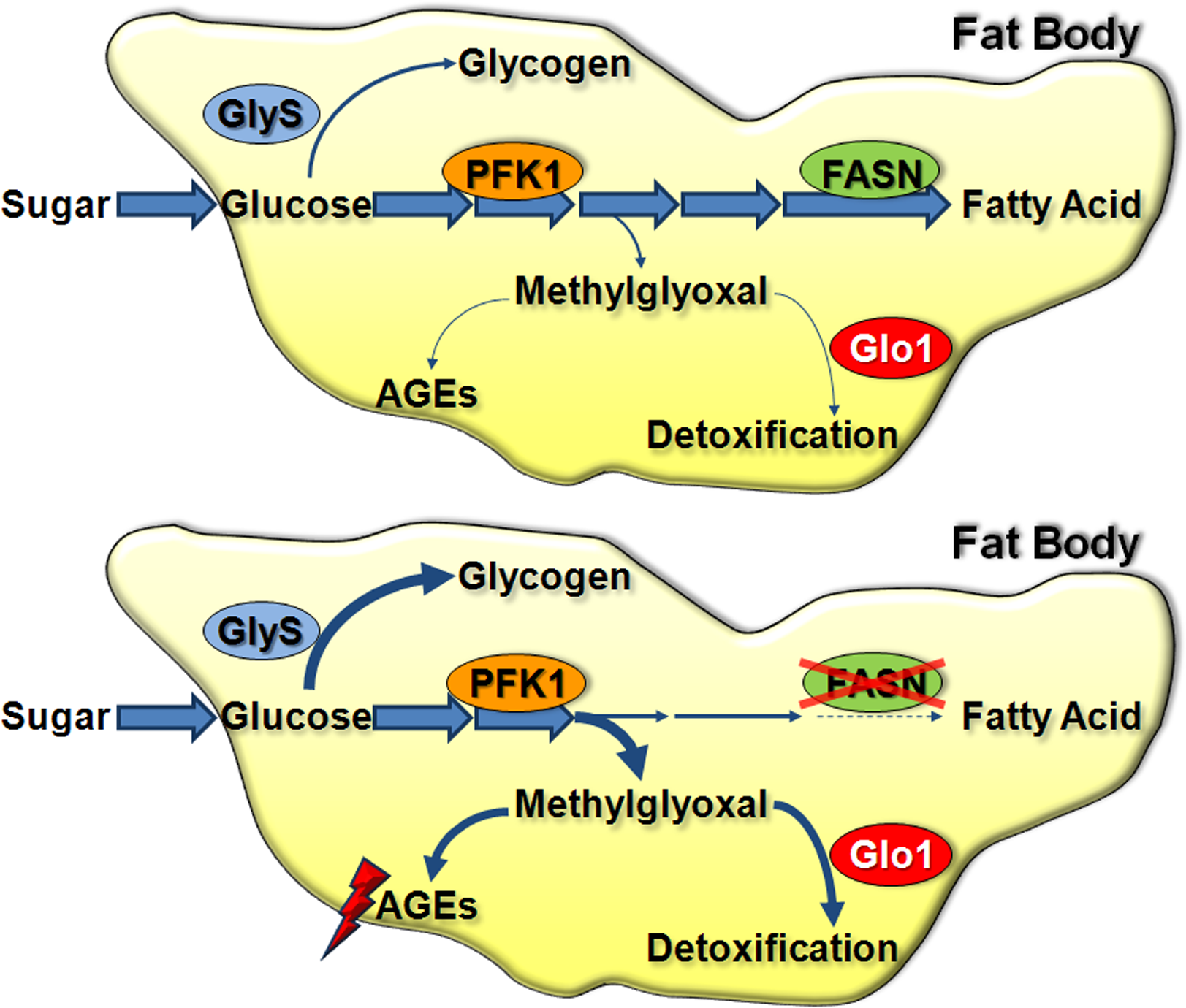 Glucose metabolic fate in the larval FB.