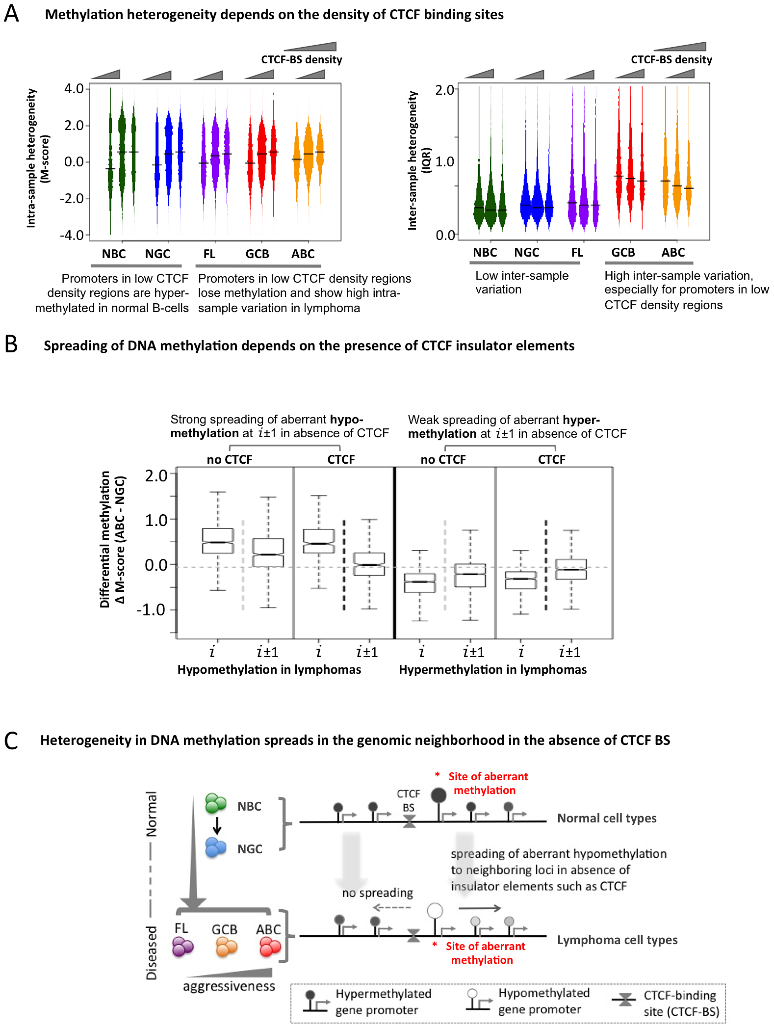 The insulator factor CTCF prevents spreading of aberrant methylation.