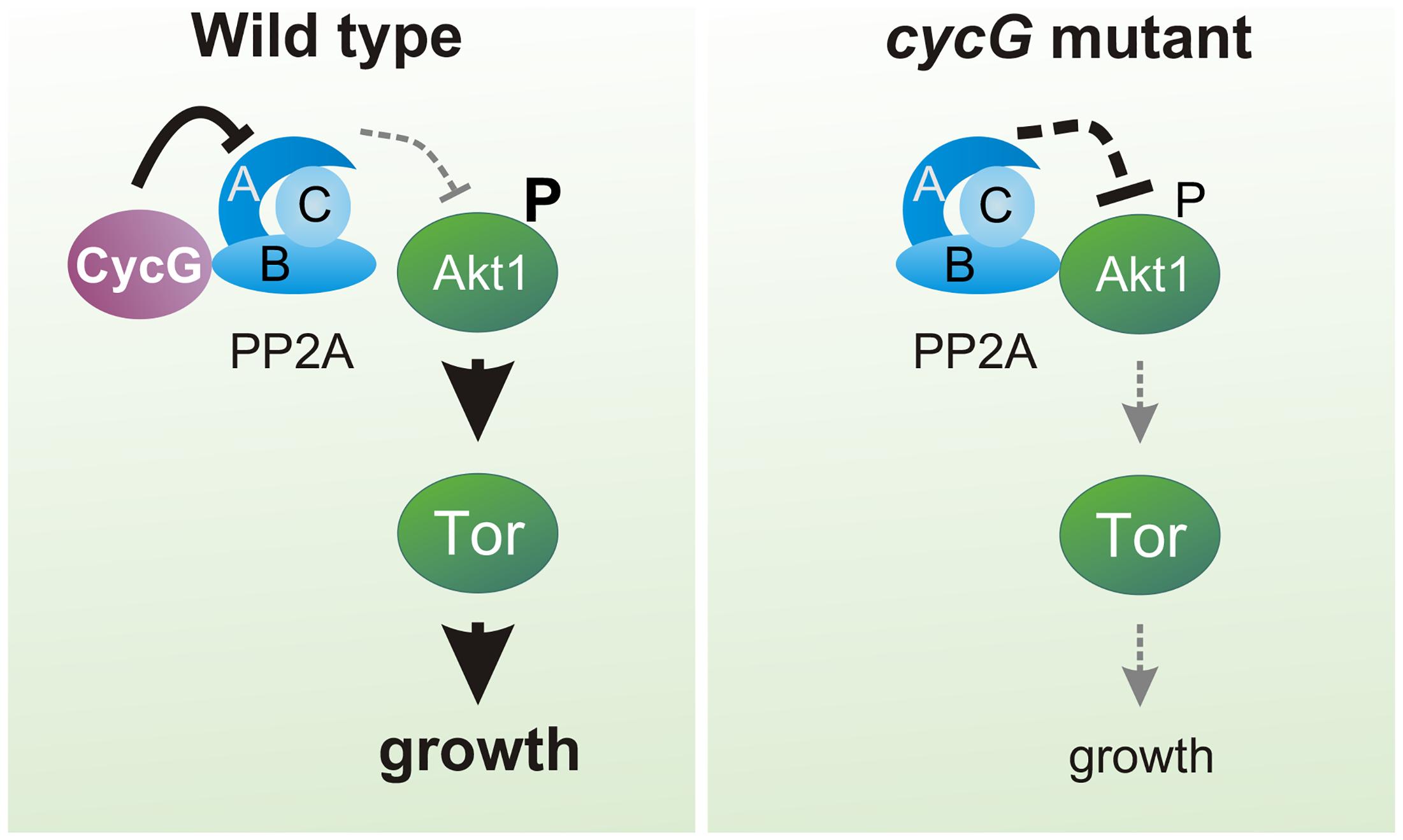 Model of CycG function.
