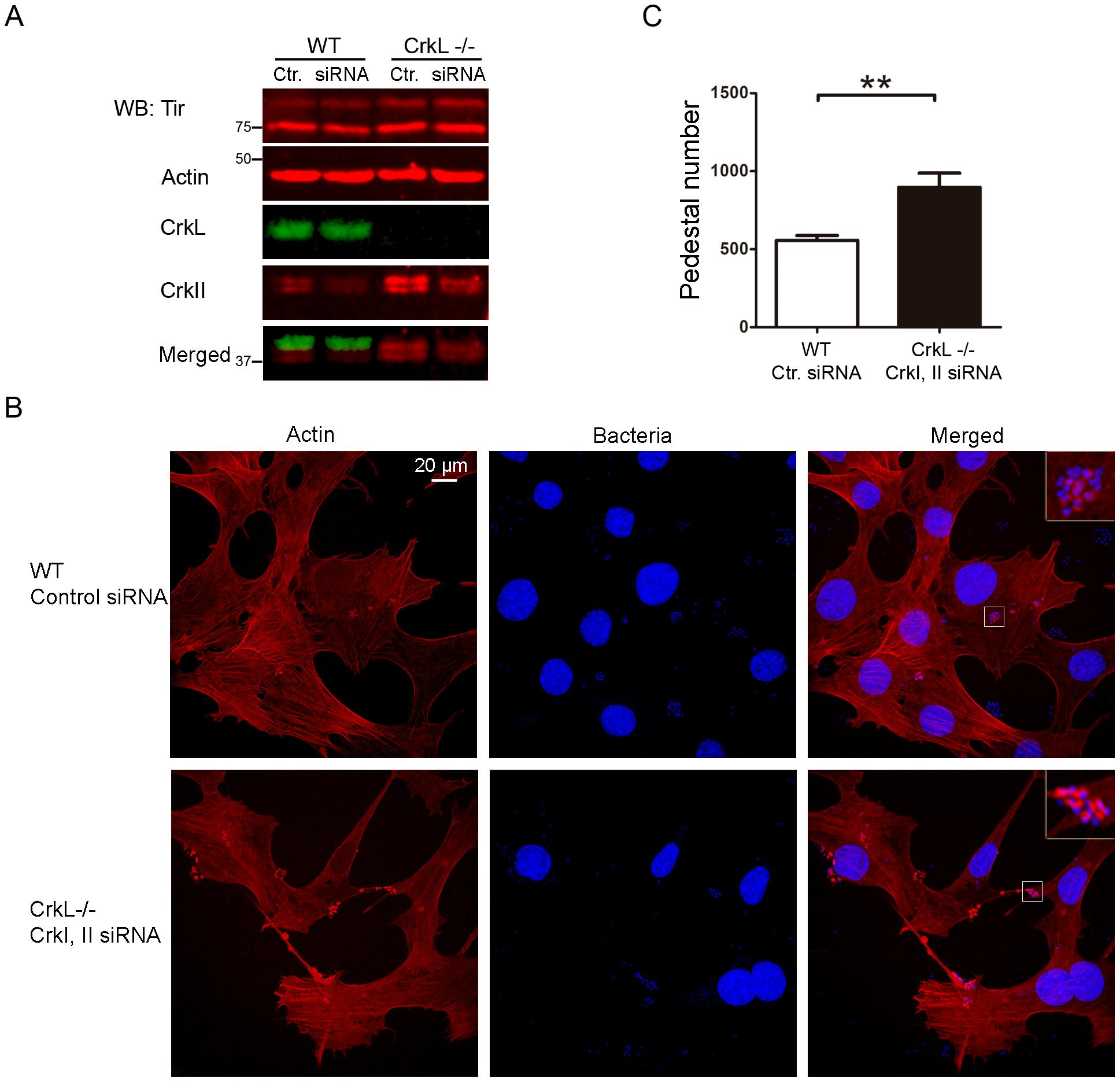 Down-regulation of CrkI/II expression by siRNA in CrkL-deficient MEFs enhances pedestal formation.