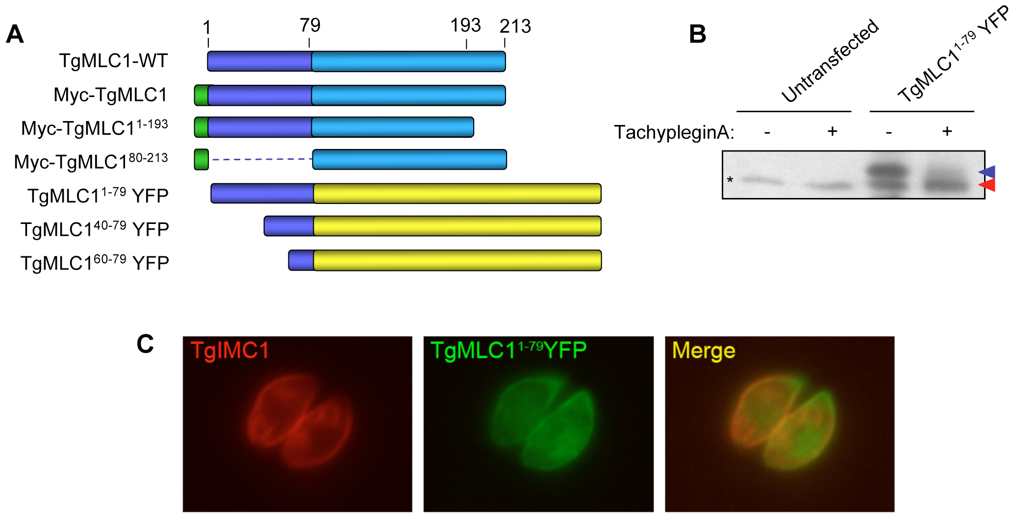 Amino acids 1–79 of TgMLC1 are sufficient for the tachypleginA-induced mobility shift.