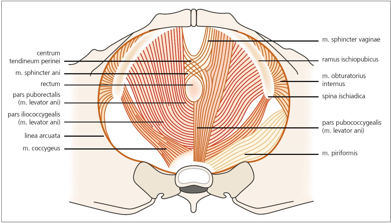 Druhá vrstva svalů pánevního dna – diaphragma urogenitale. Autor děkuje MgA. Marianě Marešové za poskytnutí obrázku.