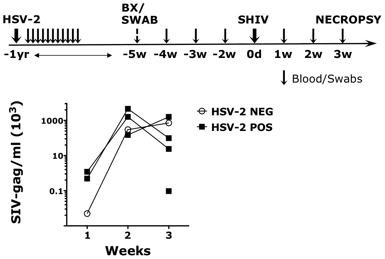 HSV-2 latently infected RMs appear more susceptible to SHIV infection.