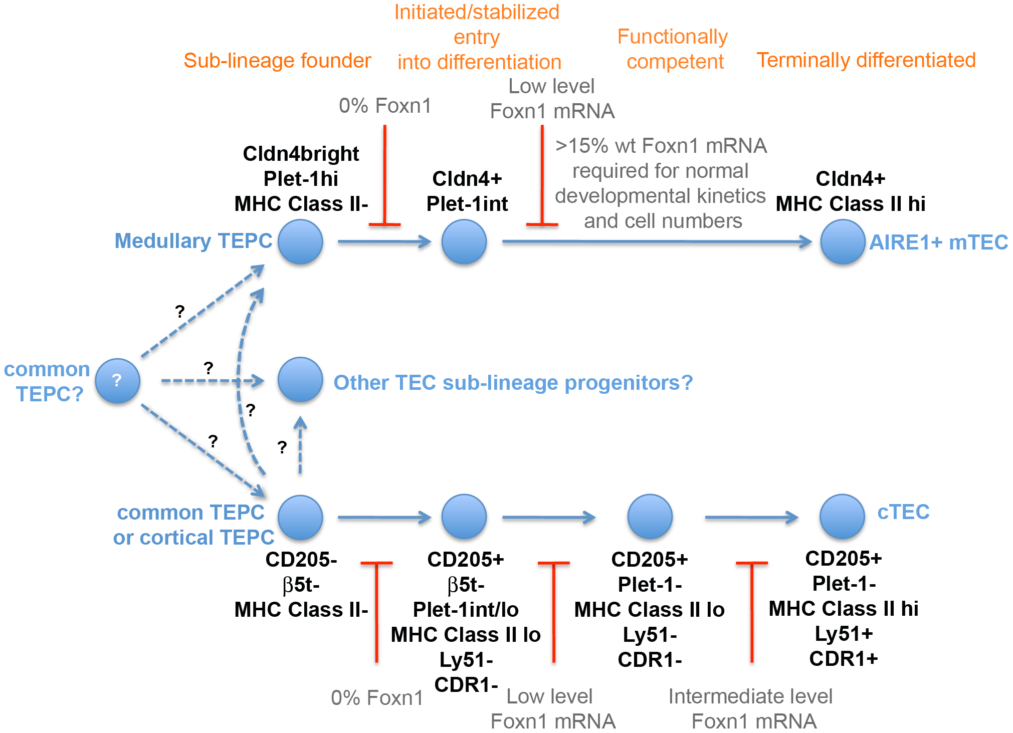 Foxn1 regulation of TE lineage development.