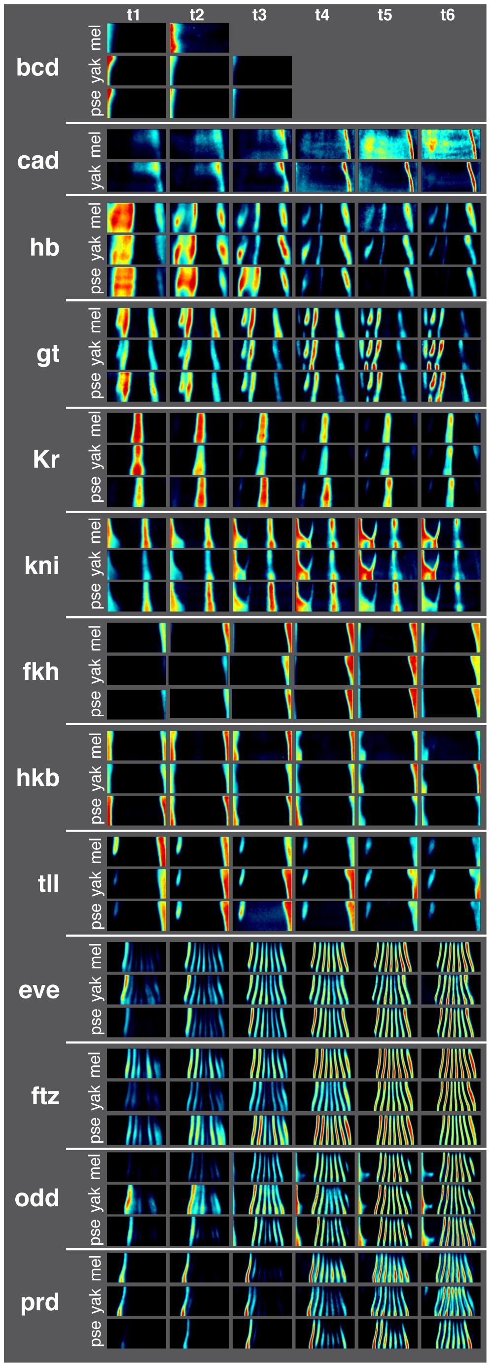 Average gene expression patterns for 13 AP patterning genes in <i>D. melanogaster</i>, <i>D. yakuba</i>, and <i>D. pseudoobscura</i> are qualitatively similar.