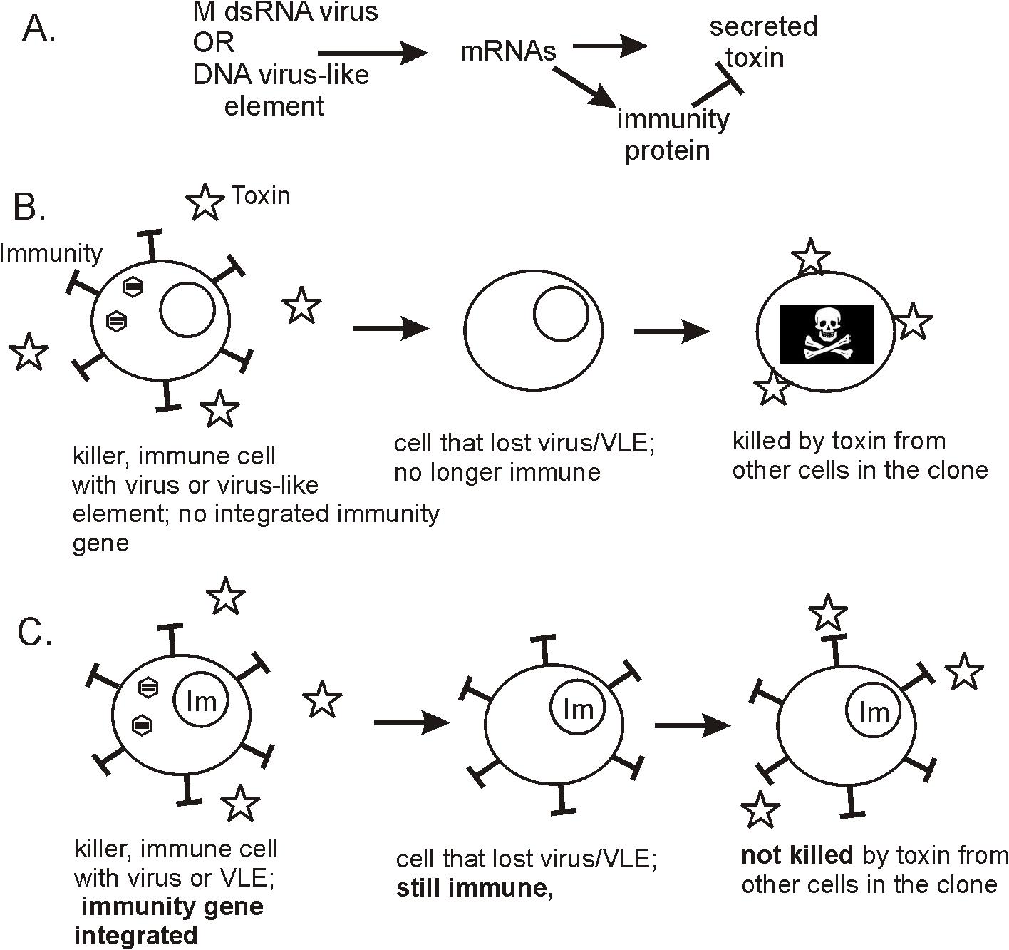 Biology of killer plasmids and viruses of yeasts.