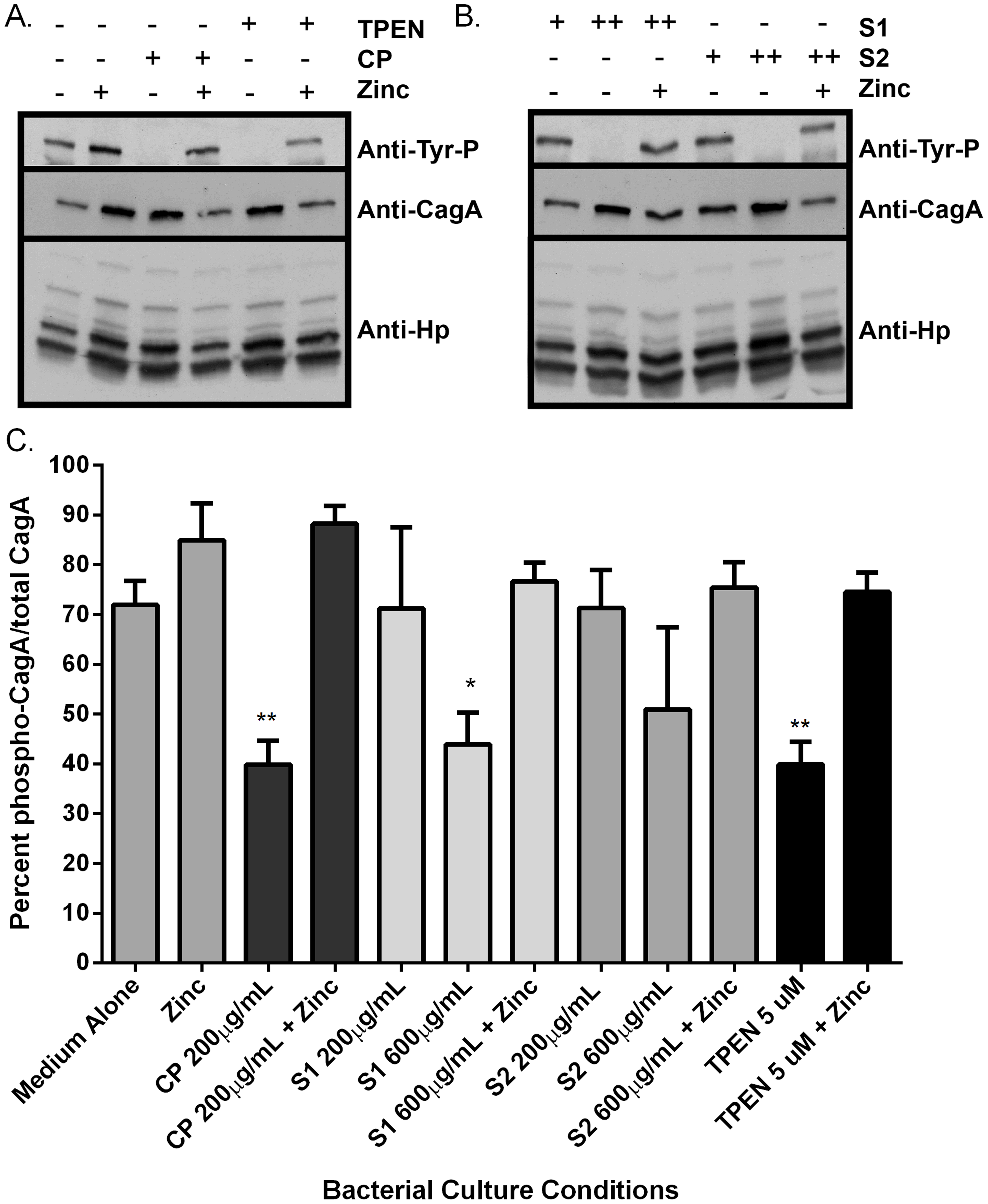 Calprotectin inhibits CagA translocation into gastric epithelial cells.