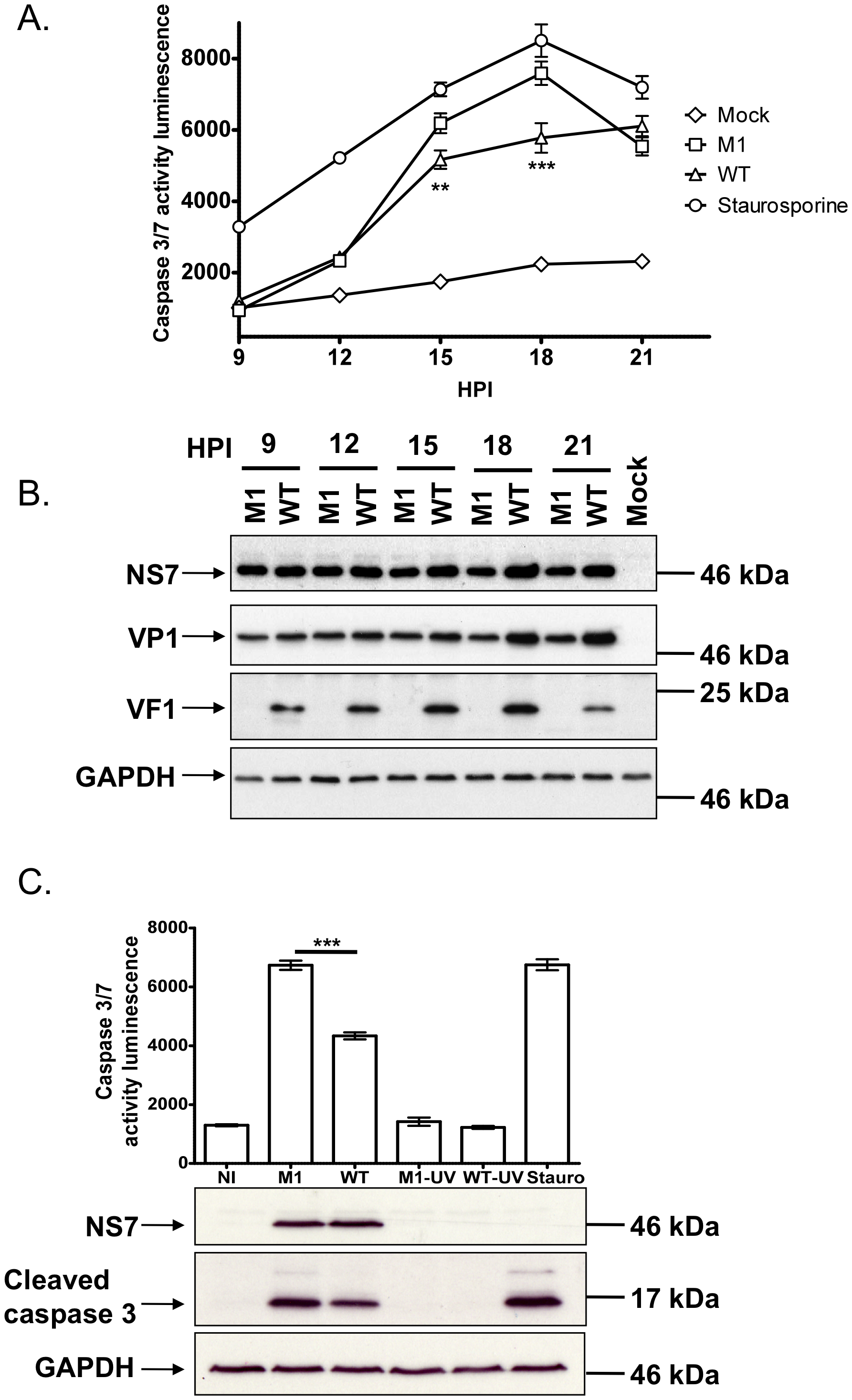 Viruses lacking VF1 are altered in their ability to induce apoptosis.