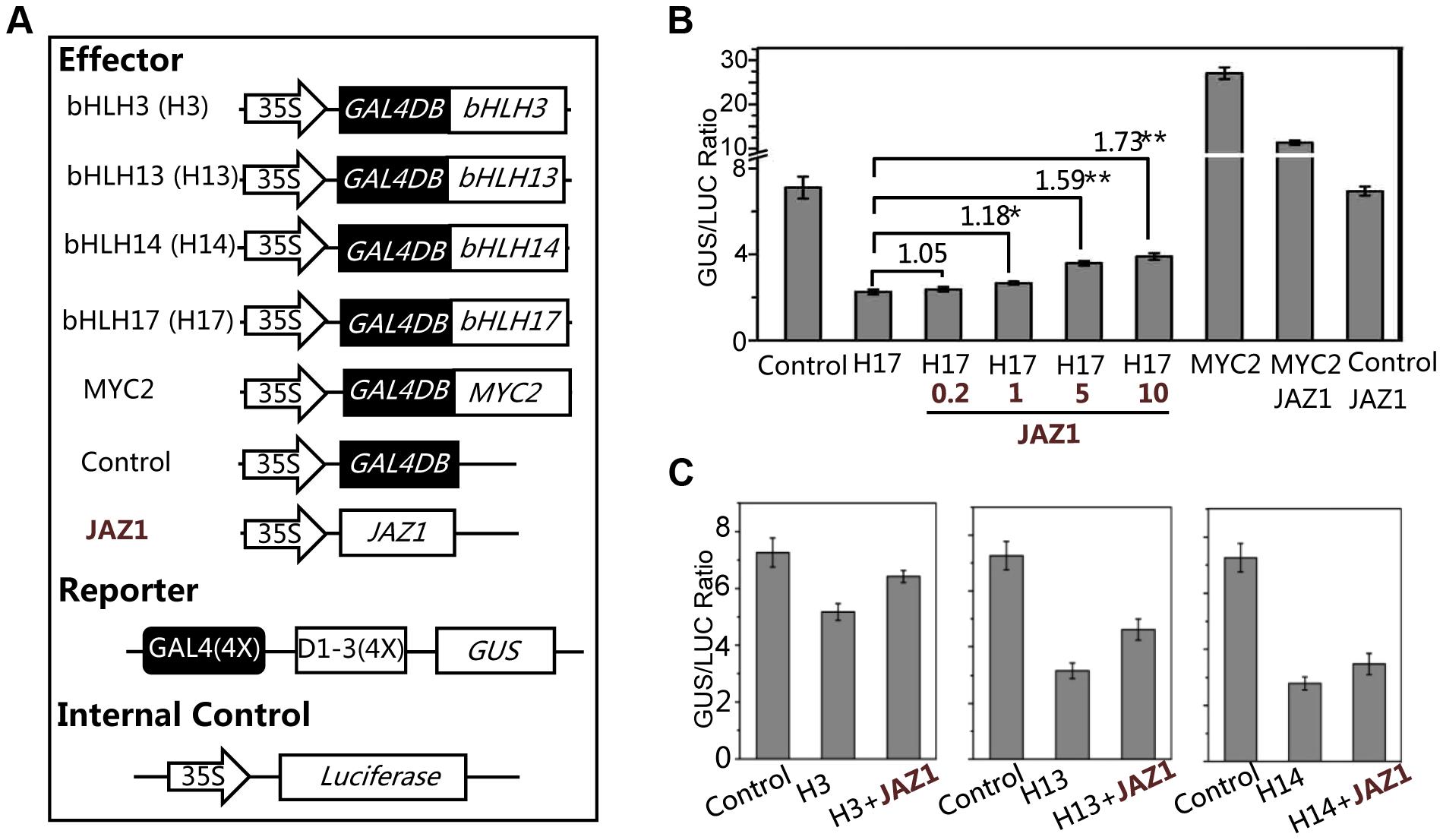 bHLH3, bHLH13, bHLH14 and bHLH17 act as transcription repressors.