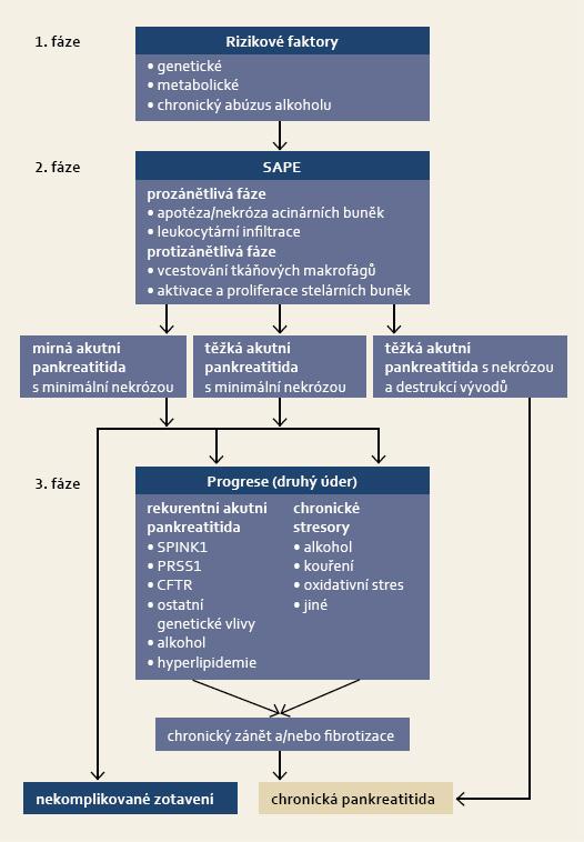 SAPE hypotéza – schéma. Modifikováno dle Yadav et al [102]. V první fázi je histologické vzezření pankreatu normální, i když je jedinec vystaven metabolickému či oxidativnímu stresu nebo je nositelem genetického rizika. Prvním úderem je inzult pankreatu, který vede k akutní pankreatitidě (sentinel event). Prozánětlivá fáze vyústí v infiltraci parenchymu imunokompetentními buňkami a zánětlivé poškození tkáně. Druhé stadium končí fází protizánětlivé odpovědi, která je asociována s aktivací a proliferací pankreatických stelárních buněk. Ve většině případů pak dochází ke klinickému zotavení slinivky. V případě, že dojde k rekurentní atace akutní pankreatitidy, nebo v případě predispozice jedince k indukci chronického stresu acinárních buněk (druhý úder), dochází k chronickému zánětu a progresivní fibrotizaci, jež klinicky rozeznáváme jako chronickou pankreatitidu. K rozvoji chronické pankreatitidy může dojít i přímo (bez druhého úderu), v podmínkách extenzivní pankreatické nekrózy či prolongované úplné obstrukce proximálního vývodu po epizodě těžké akutní pankreatitidy. Fig. 3. SAPE hypothesis – scheme. Adapted and modified from Yadav et al [102]. In the first phase, the histological aspect of the pancreas is normal, even though an individual is subjected to metabolical or oxidative stress, or genetic risk is present. The first step is injury of the pancreas, which leads to acute pancreatitis (sentinel event). The pro-inflammatory phase results in infiltration of parenchyma by immunocompetent cells and inflammatory damage of the tissue. The second phase ends with anti-inflammatory response, mediated by tissue macrophages and associated with activation and proliferation of pancreatic stellar cells. Subsequently, recovery of pancreas occurs in most cases. Recurrent attacks of acute pancreatitis or genetic predisposition of an individual for induction of chronic stress of acinar cells (second hit), result in chronic inflammation and progressive fibrotization, which is clin