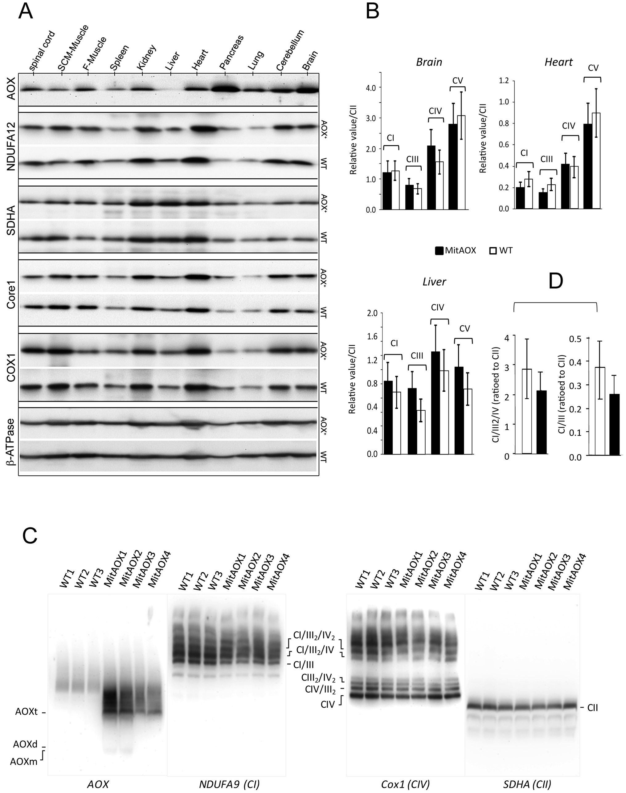 Western-blot and BN-PAGE analyses of brain mitochondria from WT and AOX mice.