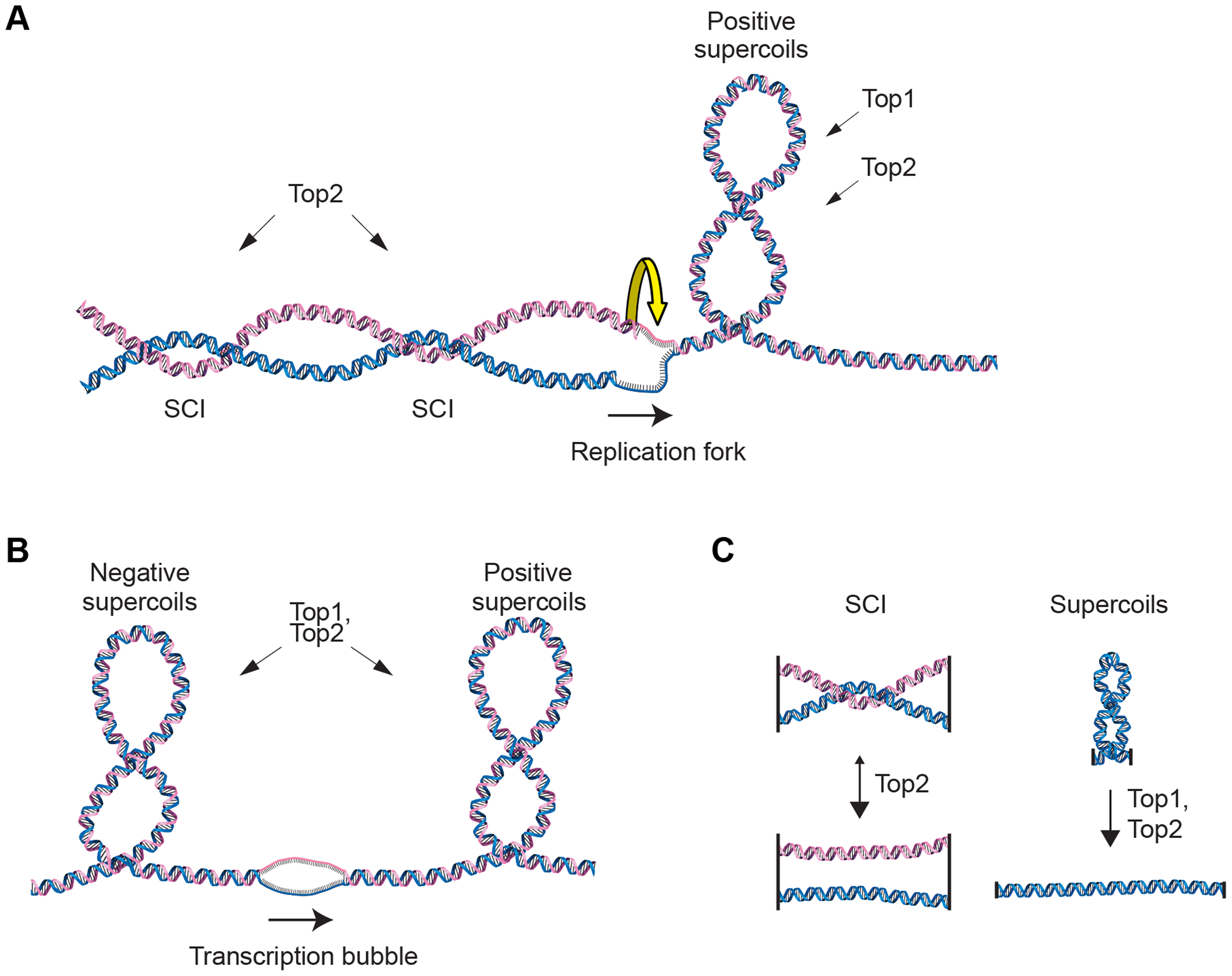 Schematic of DNA supercoiling, SCIs and topoisomerases.