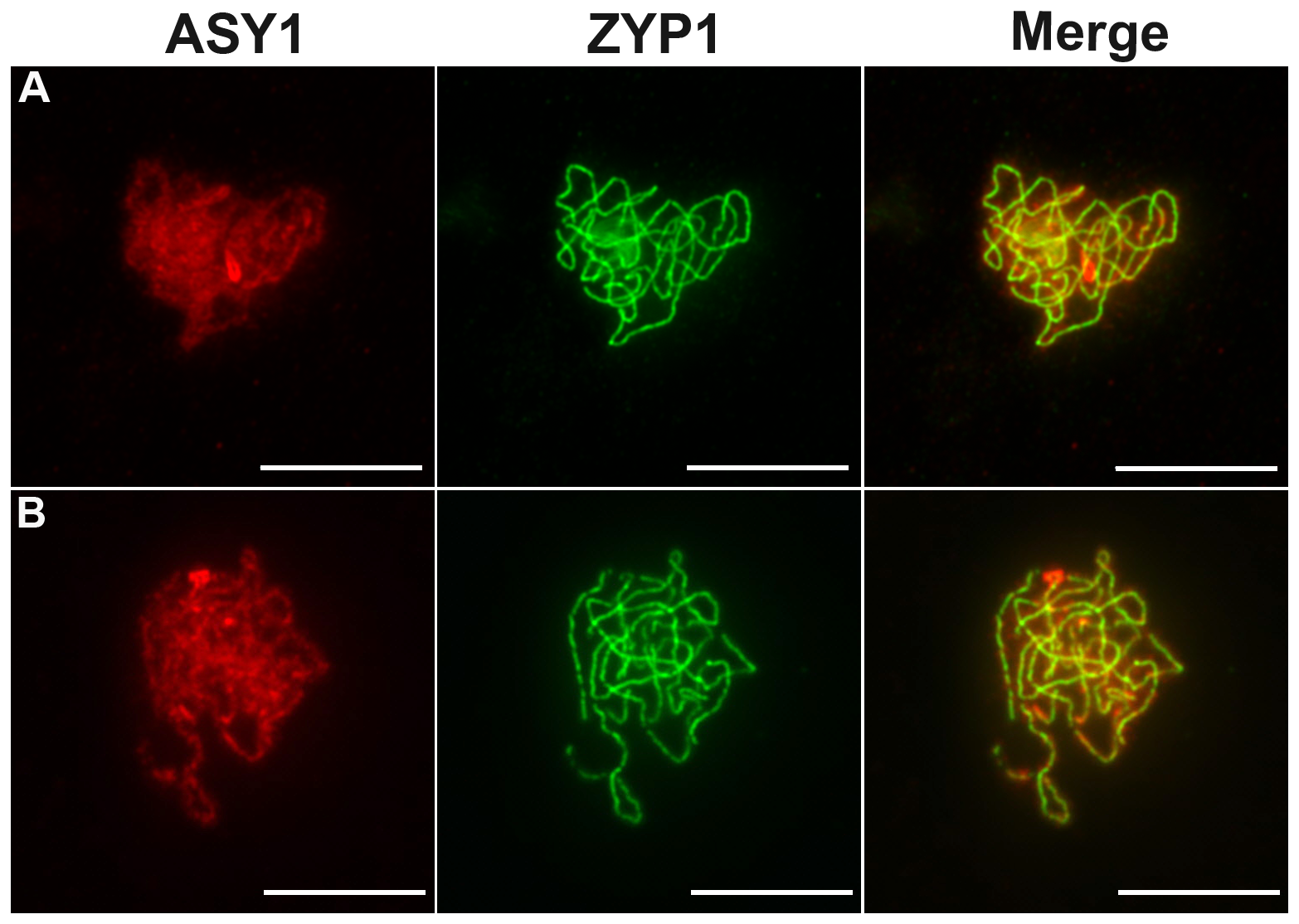 Coimmunolocalization of ASY1 and ZYP1.