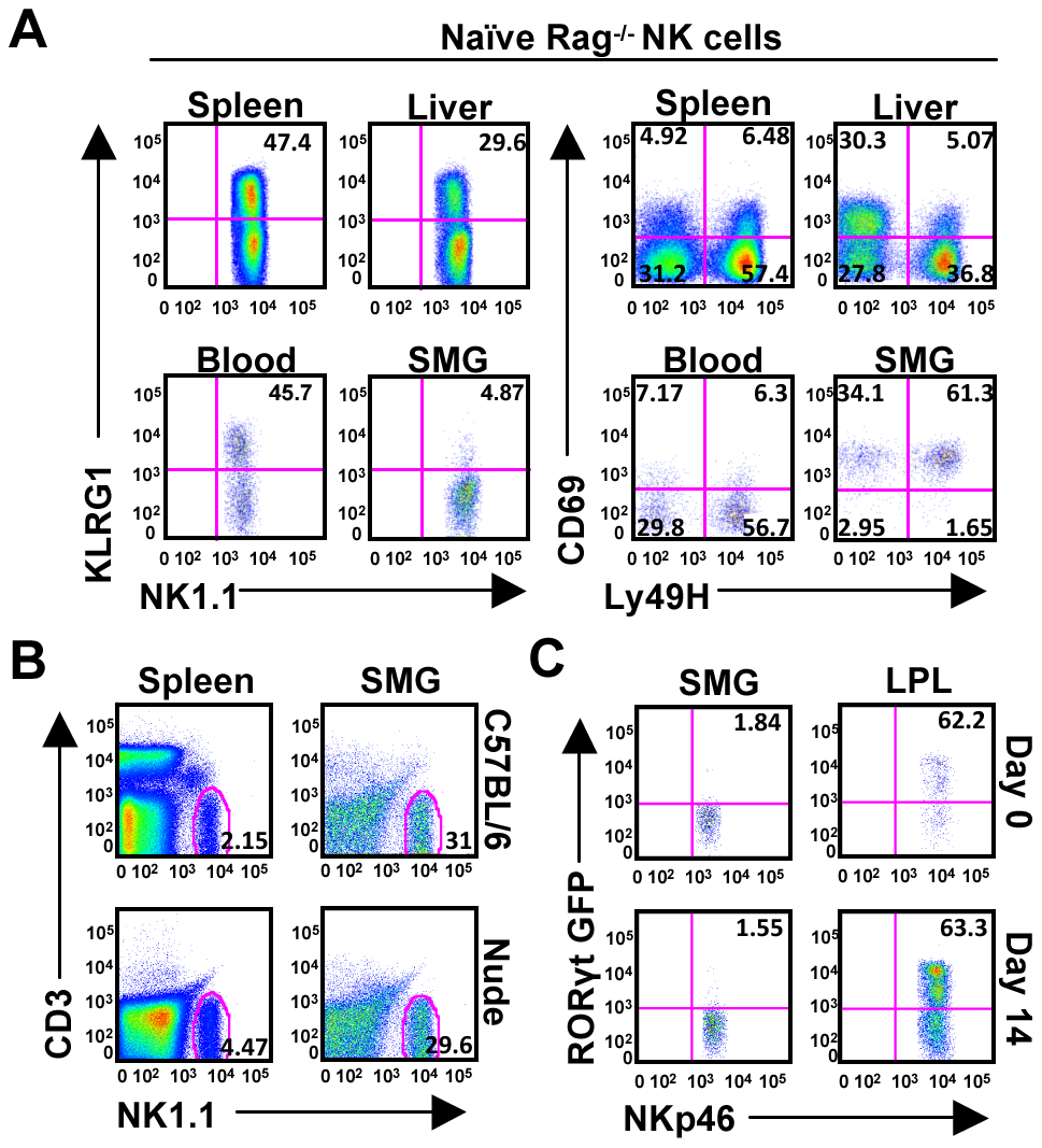 SMG NK cells are present in Rag<sup>−/−</sup> mice and are not thymic or LTi derived.