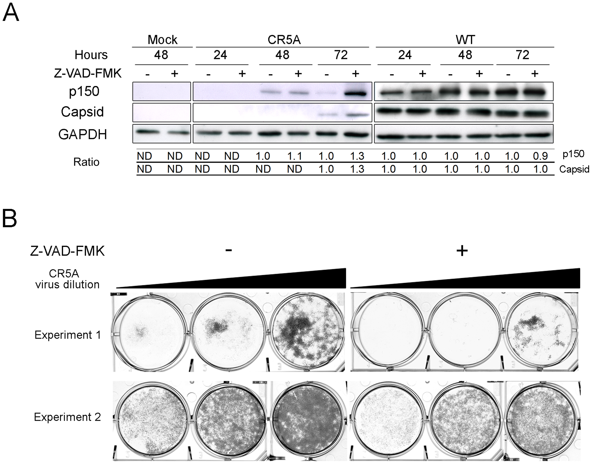 Vero cells that were infected with the CR5A mutant or wild type RV were treated with DMSO (-) or Z-VAD-FMK (50 µM) every day for up to 3 days.