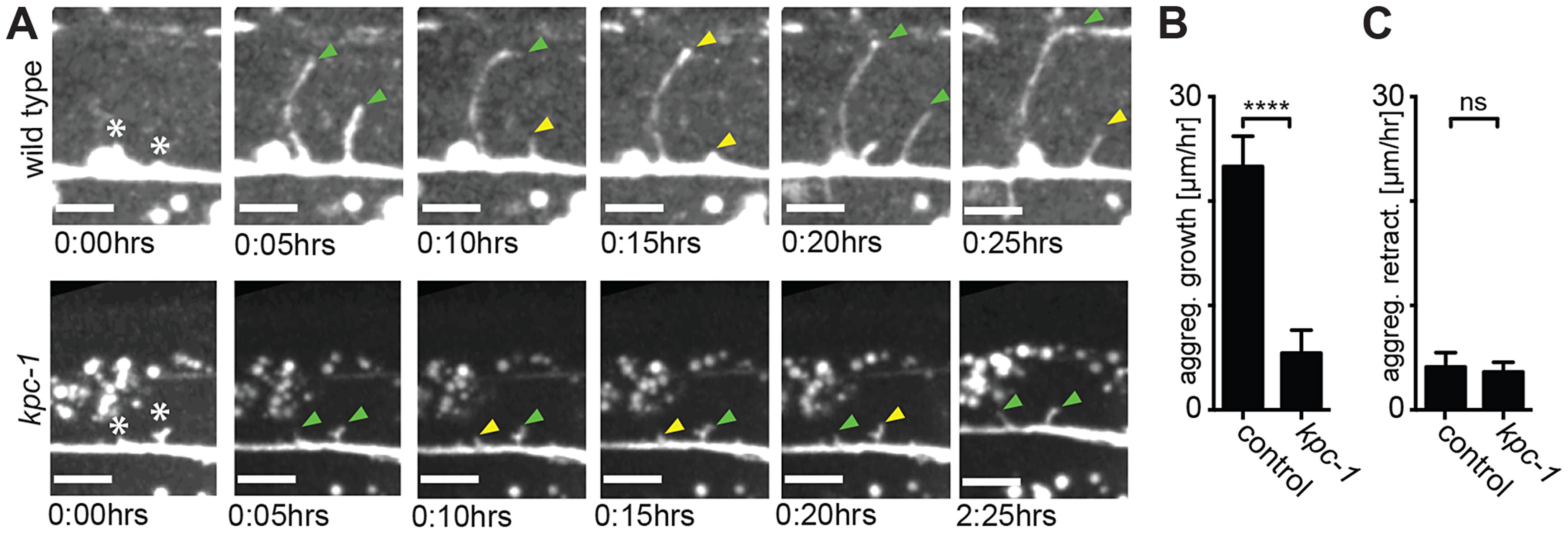 Dendrites in <i>kpc-1</i> display decreased speed of growth.