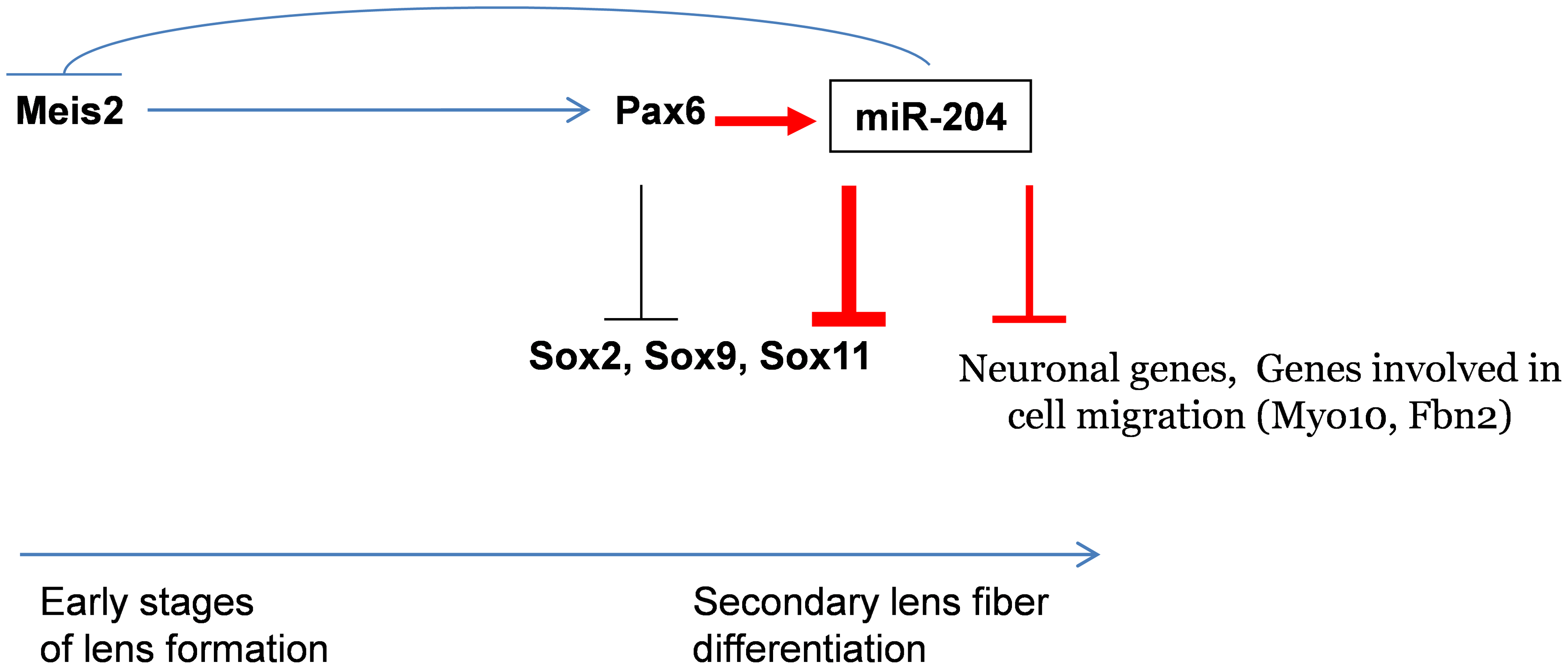 Model of Pax6 genetic regulation of <i>Sox11</i> during ocular development.