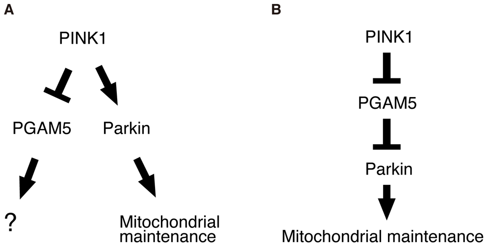 Schematic of the proposed PINK1/PGAM5 pathways in <i>Drosophila</i>.