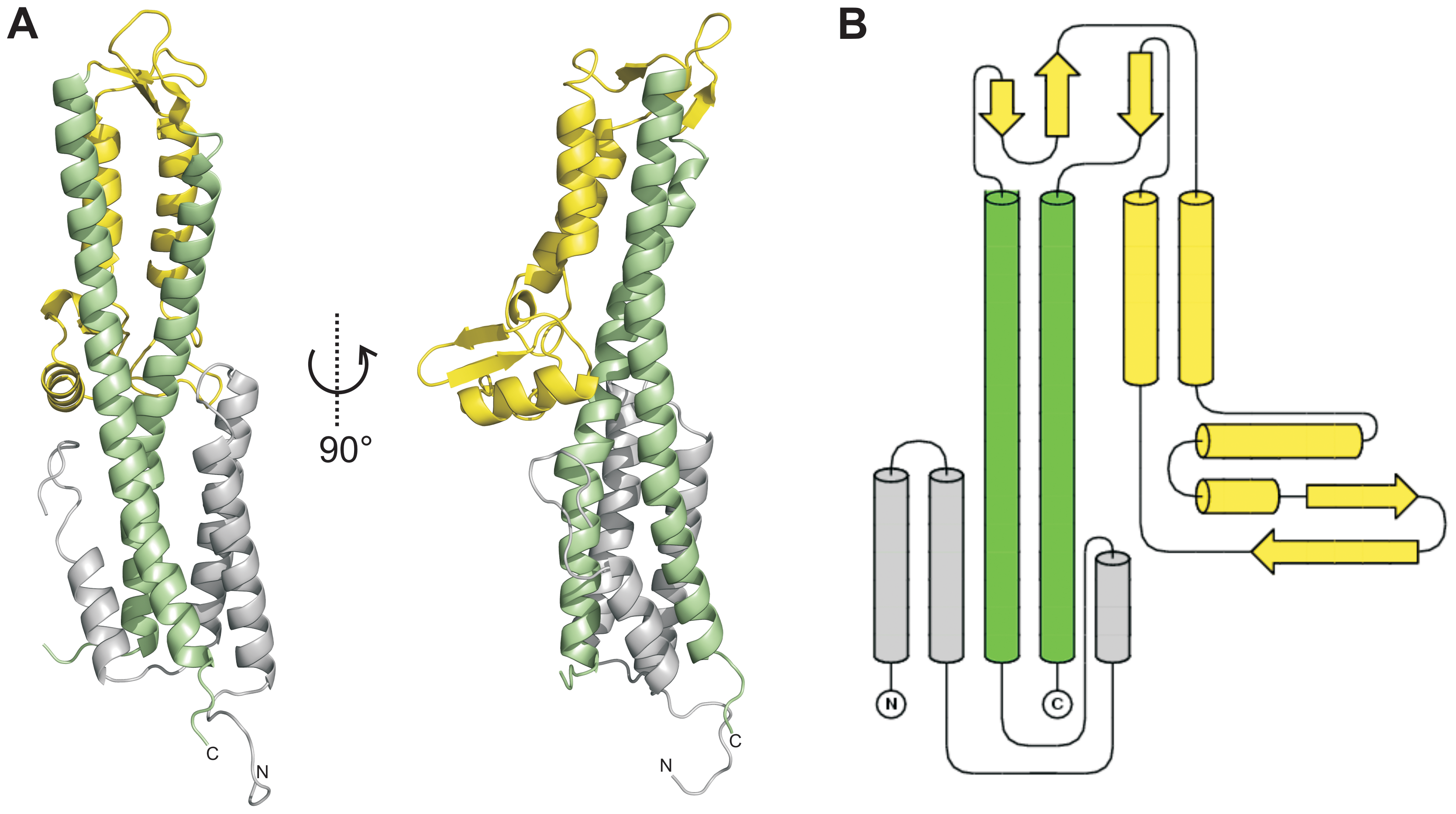 Crystal structure of SipD.