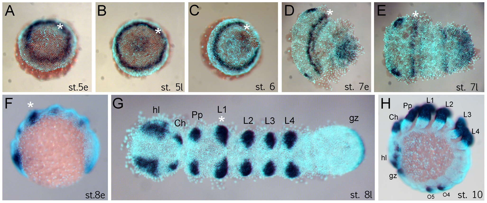 Expression of <i>Dll</i> in <i>Achaearanea tepidariorum</i> embryos.
