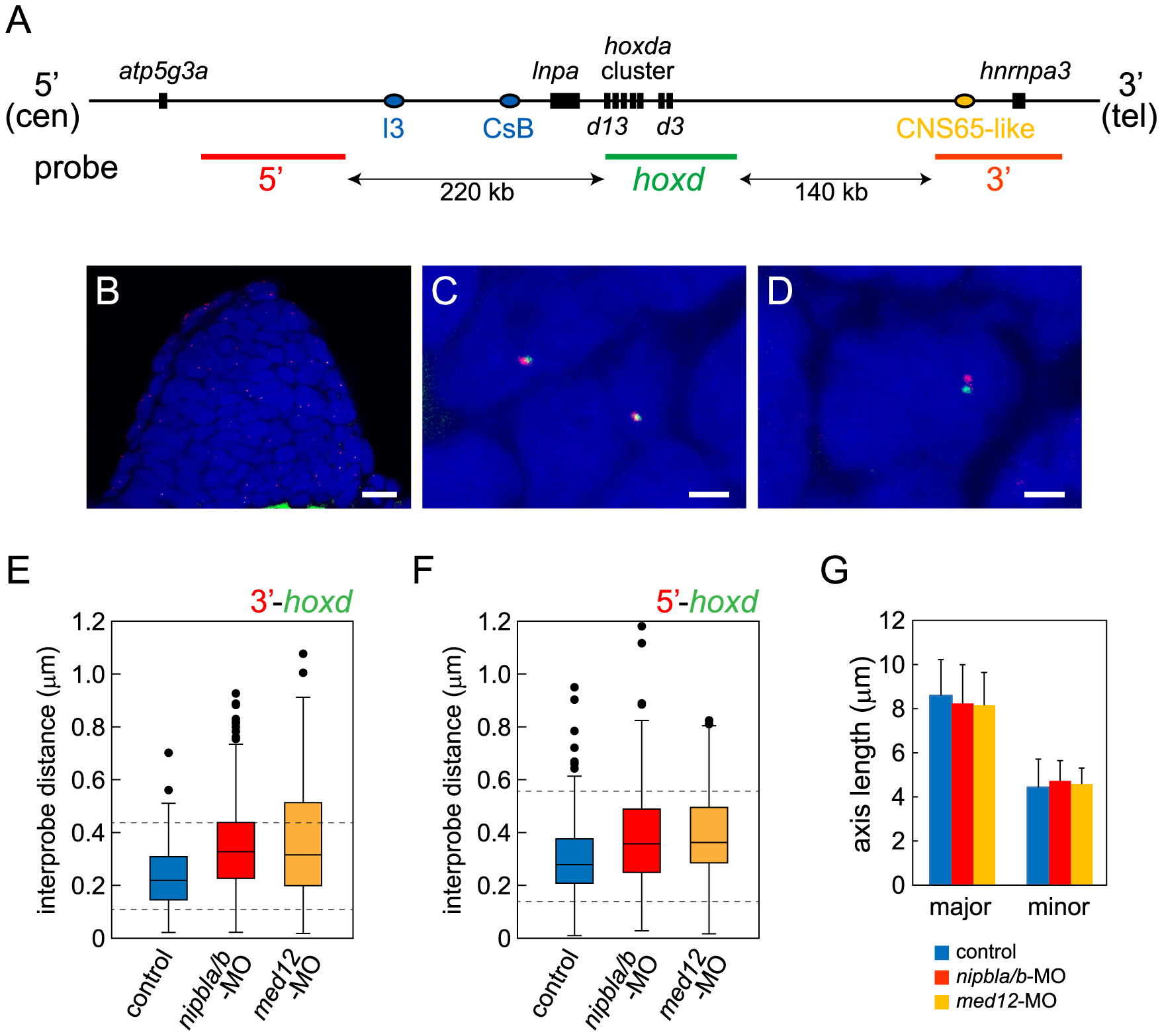 Nipbls and Med12 play roles in regulation of higher-order chromosome conformation at the Hoxd locus in pectoral fin buds.