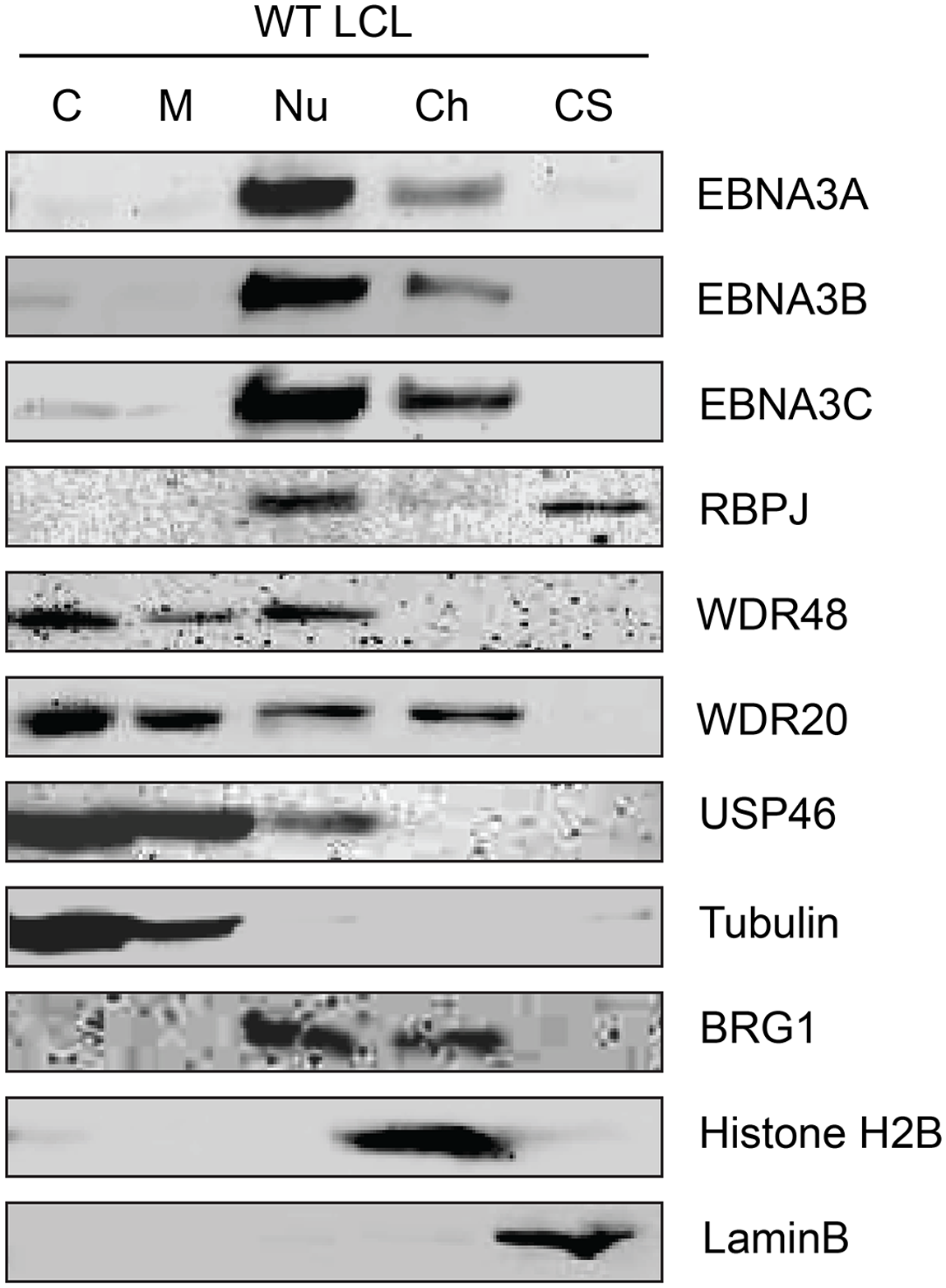 Subcellular localization of USP46 complexes in LCLs.