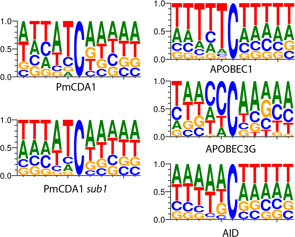 APOBEC deaminases induce mutations in yeast in the characteristic sequence contexts.