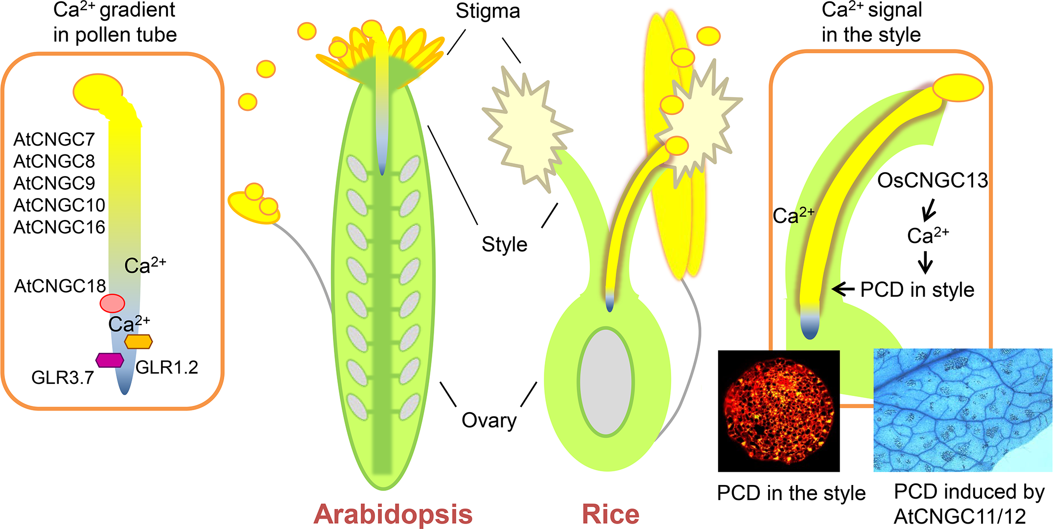 Ca<sup>2+</sup> channels in pollen tubes and pistils in <i>Arabidopsis</i> and rice.
