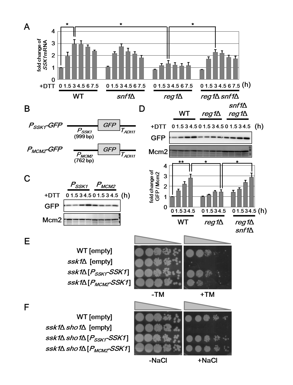 Snf1 negatively regulates the expression level of <i>SSK1</i> mRNA.