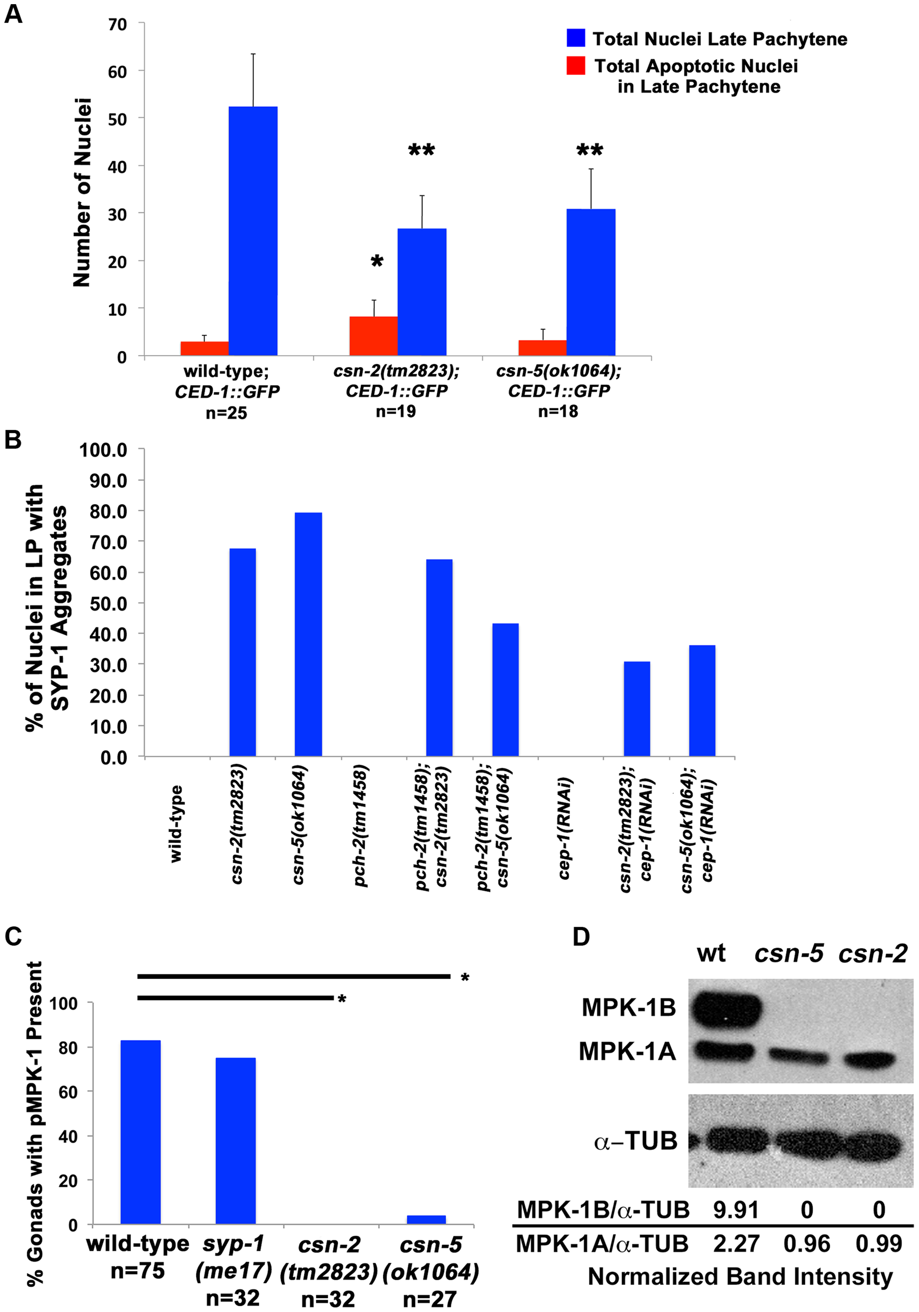 Apoptosis and MPK-1 expression are altered in <i>csn</i> mutants.