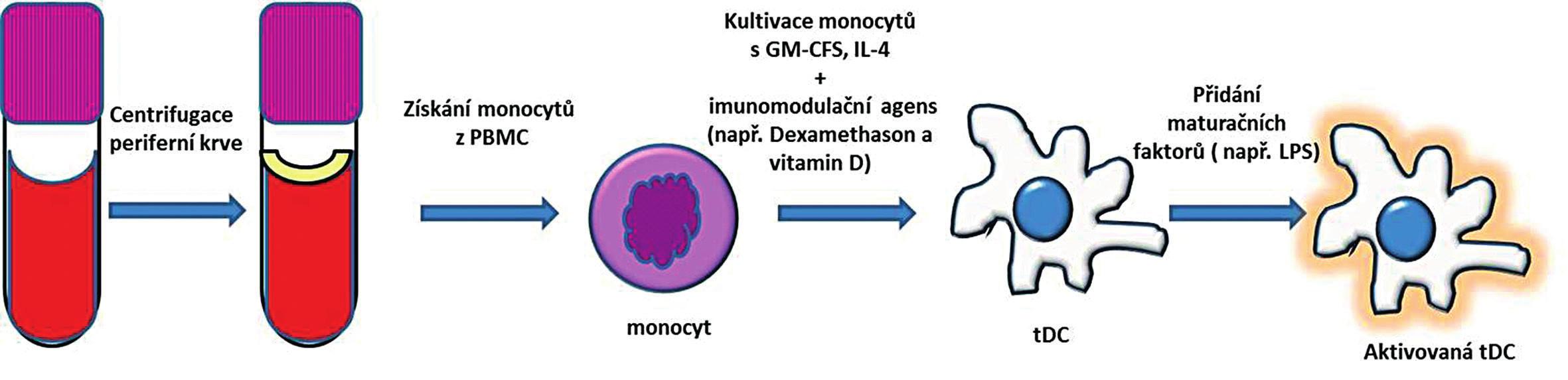 Příprava tolerogenních dendritických buněk z periferní krve. Monocyty izolované z PBMC jsou kultivované za přítomnosti GM-CSF a IL-4 a imunomodulačního agens. Po přidání maturačního stimulu vznikne aktivovaná tDC, která má na rozdíl od aktivované zralé DC menší schopnost indukovat imunitní odpověď a vyznačuje se spíše imunoregulačním potenciálem. PBMC – peripheral blood mononuclear cells (periferní mononukleární buňky); GM-CSF – granulocyte-macrophage colony-stimulating factor (růstový hormon pro granulocyty a makrofágy); IL-4 – interleukin 4; tDC – tolerogenní dendritické buňky Fig. 2. Generation of tolerogenic dendritic cells from peripheral blood. Monocytes are isolated from peripheral blood mononuclear cells (PBMC) and are cultured in the presence of GM-CSF, IL-4 and immunomodulatory agents. Further stimulation with maturation agent gives rise of activated tDC. The capacity of tDC for inducing an immune response is inferior to that of activated mature DC.  PBMC – peripheral blood mononuclear cells; GM-CSF – granulocyte-macrophage colony-stimulating factor; IL-4 – interleukin 4; tDC – tolerogenic dendritic cells