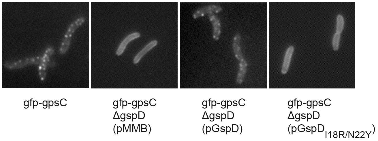 Differential localization in <i>V. cholerae</i> of GFP-GspC in the presence of GspD<sub>I18R/N22Y</sub>.