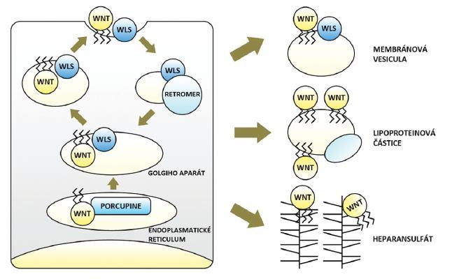 Tvorba, sekrece a transport Wnt glykolipoproteinů – obohacení Wnt o lipidové zbytky zprostředkovává v endoplasmatickém retikulu O-acyltransferáza Porcupine, následně jsou Wnt přenášeny ve vazbě s proteinem Wls prostřednictvím Golgiho aparátu na buněčnou membránu a secernovány. Proteinový komplex Retromer přenáší Wls zpět z membrány do Golgiho aparátu a brání jeho degradaci. Mezibuněčný transport lipofilních Wnt je možný ve vezikulách odloučených z buněčné membrány (ve vazbě s Wls), v lipoproteinových částicích či prostřednictvím sítě proteoglykanů heparansulfátů (blíže viz text).