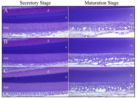 Figure 10.  Histology of 7-Week Mandibular Incisors. A: Wild-type; B: Fam83h<sup>+/−</sup>; C: Fam83h<sup>−/−</sup> mice. No histological differences were observed between the wild-type mouse incisors and those developing in the Fam83h heterozygous or null mice.