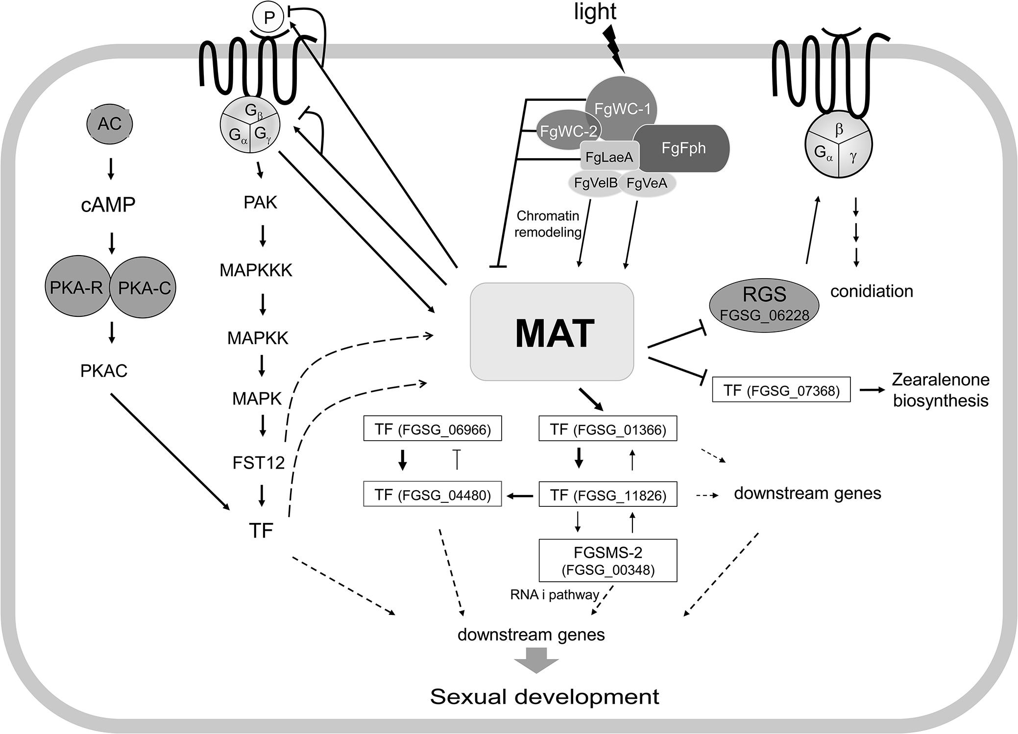 Schematic diagram of possible regulatory pathways of <i>MAT</i>-mediated sexual development in <i>F</i>. <i>graminearum</i>.
