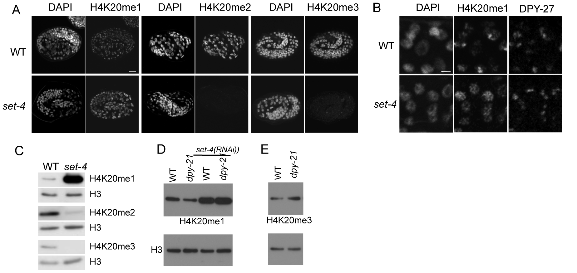 The SET-4 histone methyltransferase is necessary to generate H4K20me2 and H4K20me3.