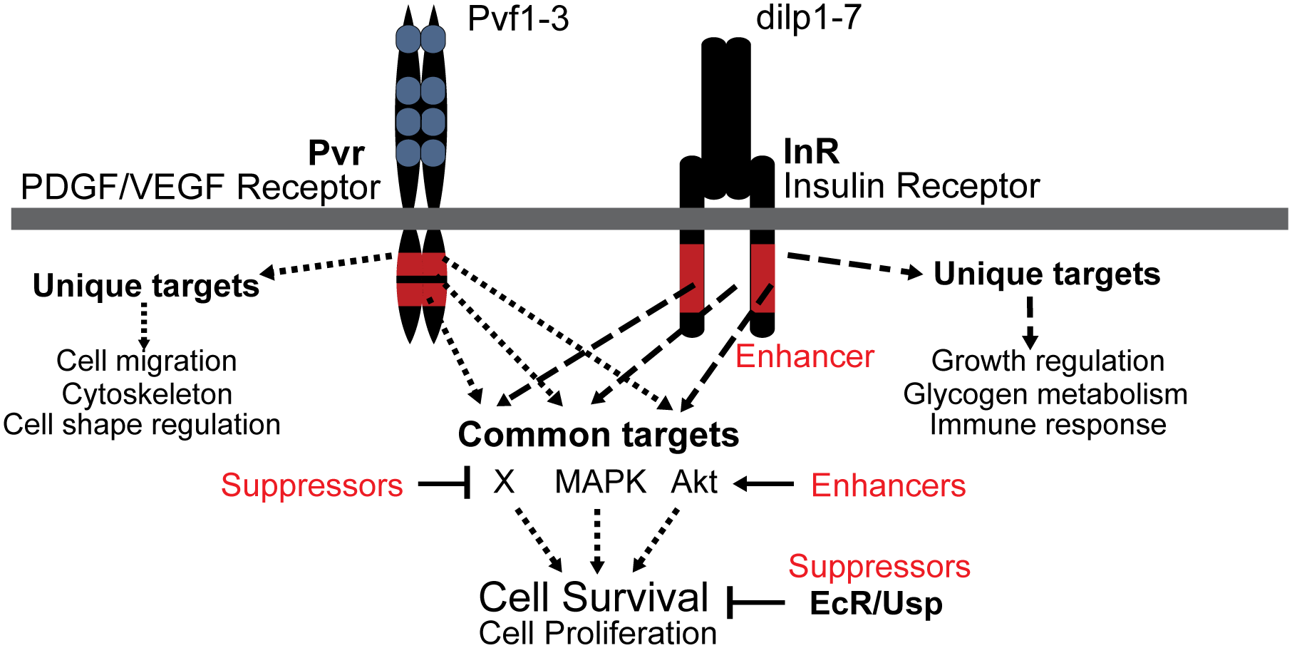 Model of Pvr and InR impact on cell survival control.