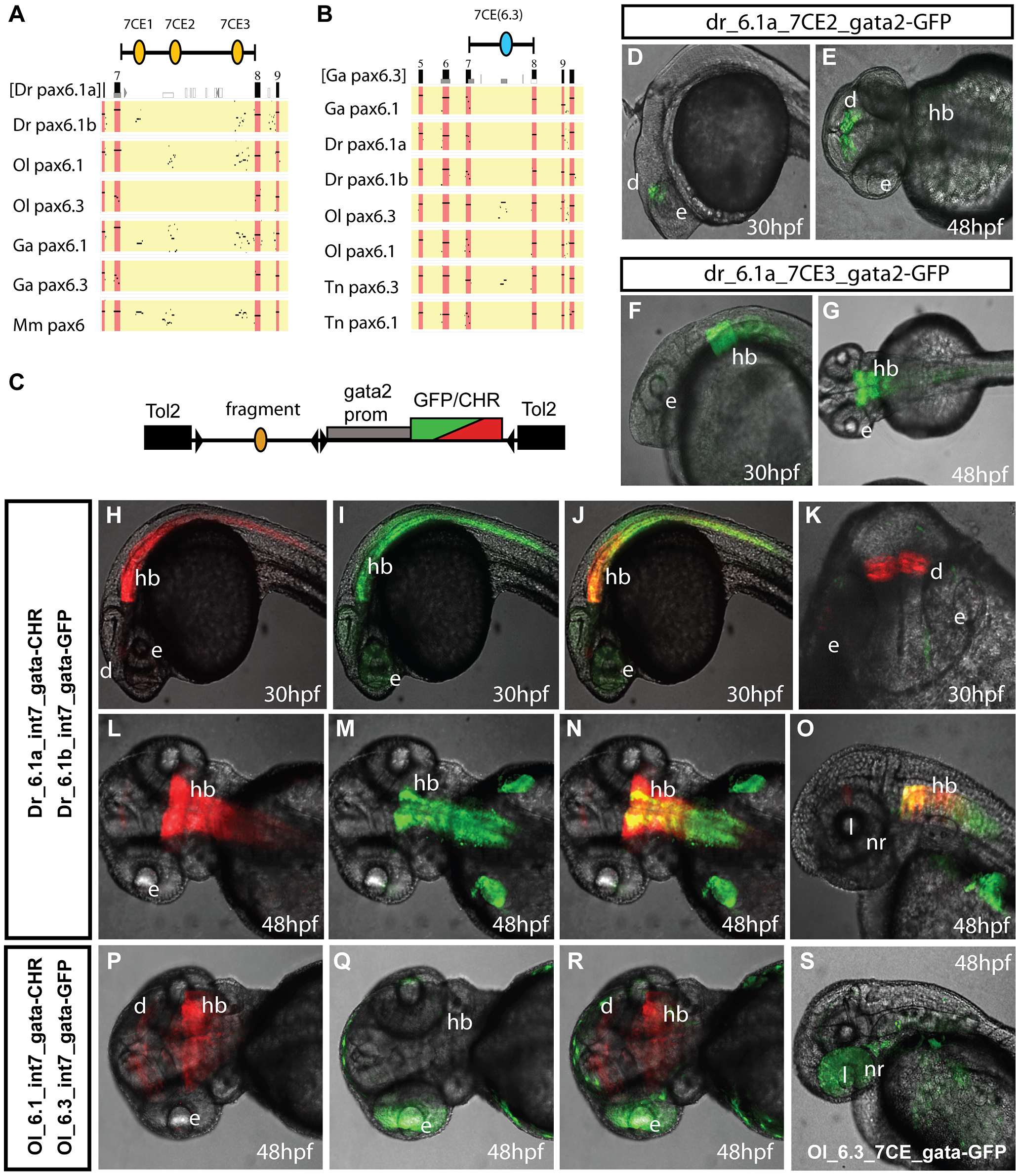 Comparison of functional activity driven by zebrafish and medaka intron 7 sequences.