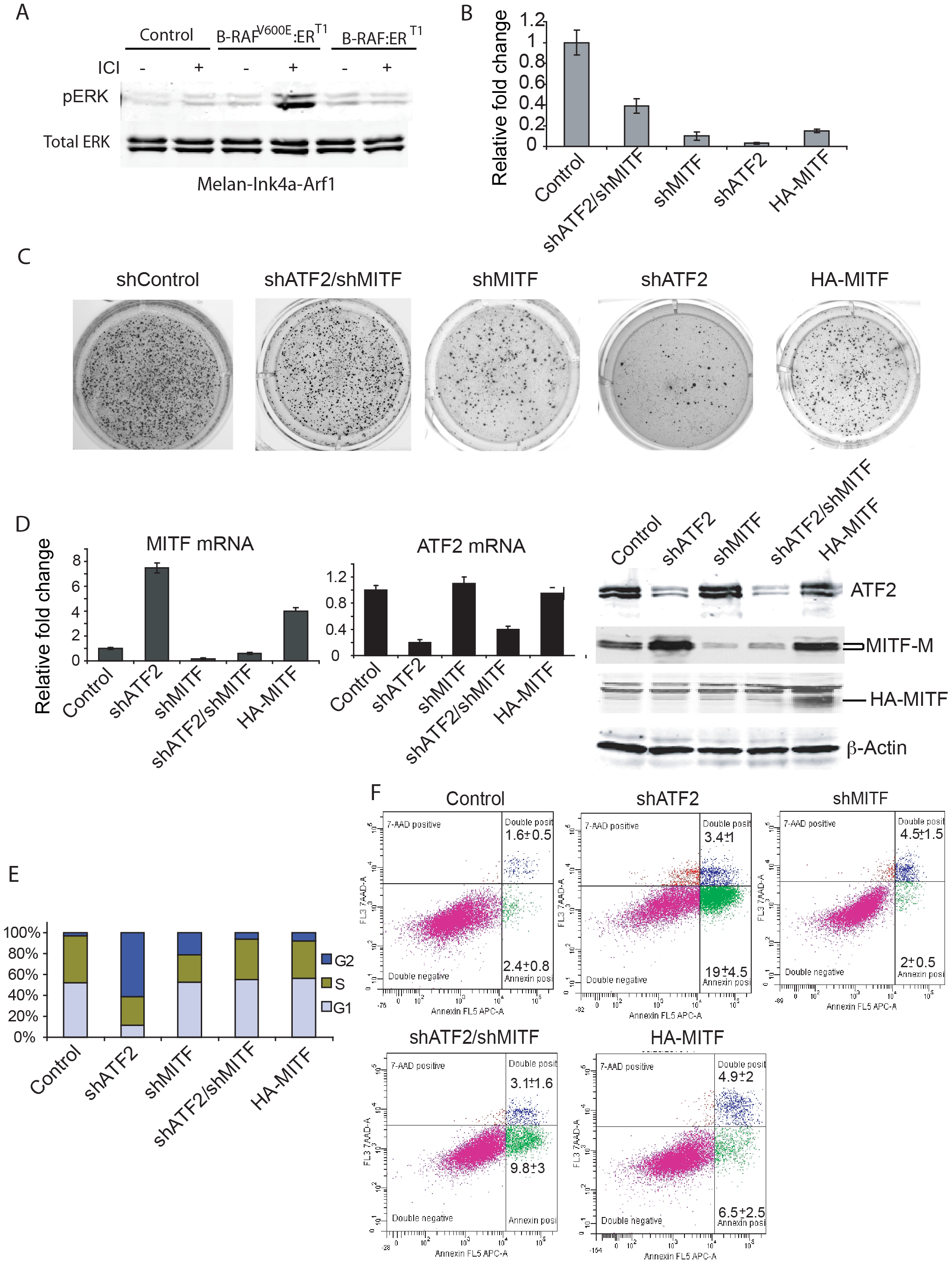 MITF down-regulation partially rescues colony formation by BRAF<sup>V600E</sup>-expressing mouse melanocytes with inhibited ATF2 expression.