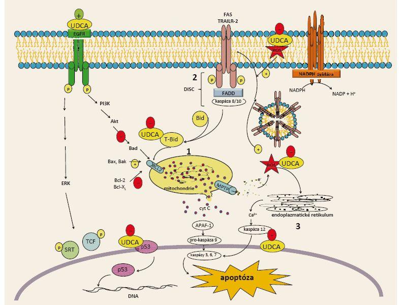 Aktivace apoptózy žlučových kyselin a inhibice apoptózy UDCA: 1. vnitřní cesta, 2. zevní cesta, 3. cesta stresu na úrovni endoplazmatického retikula. Upraveno podle [3] (se svolením autora). Fig. 2. Activation of apoptosis by bile acids and inhibition of apoptosis by UDCA: 1. intrinsic pathway, 2. extrinsic pathway, 3. pathway of stress in the endoplasmic reticulum. Adapted from [3] (with permission of the author).