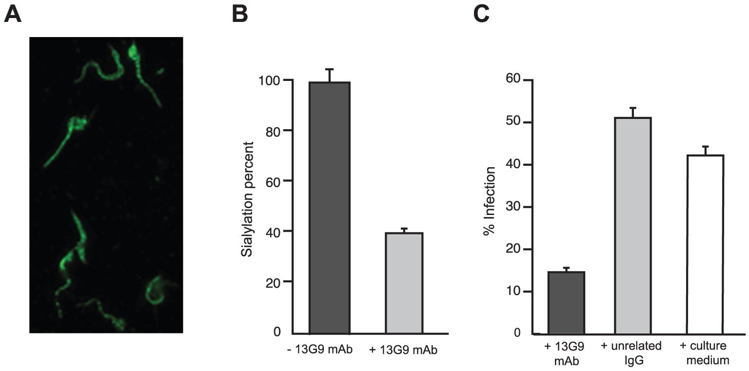 Reactivity of mAb 13G9 with <i>T. cruzi</i> parasites.