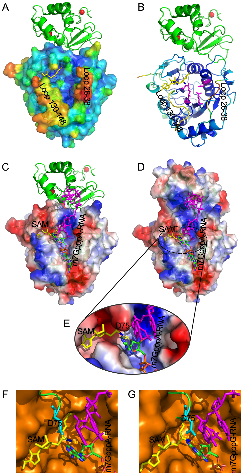Structural mechanisms of nsp10 in stimulating the binding of capped RNA to nsp16.