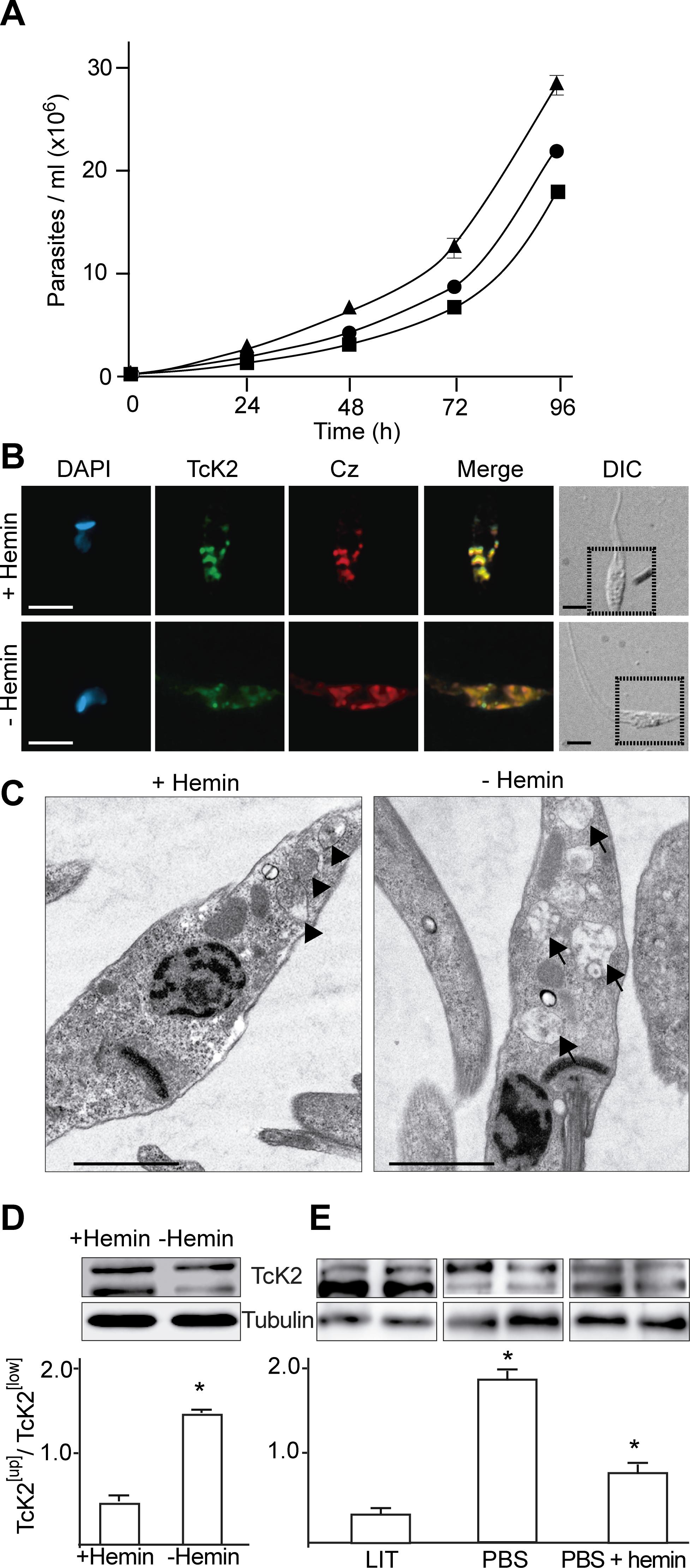 Heme promotes parasite multiplication with accumulation of electron dense endosomes and changes in TcK2 gel migration.