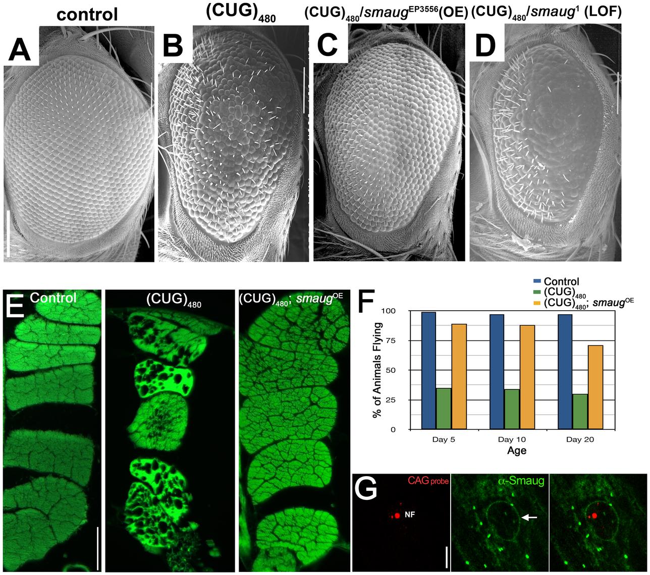 <i>smaug</i> overexpression suppresses expanded CUG-induced toxicity in <i>Drosophila</i>.