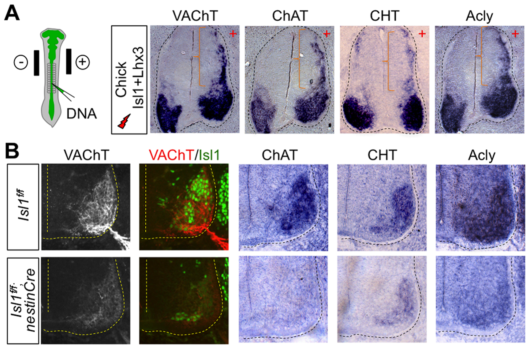 The Isl1-Lhx3-hexamer plays a crucial role in inducing the expression of cholinergic pathway genes in the developing spinal MNs.