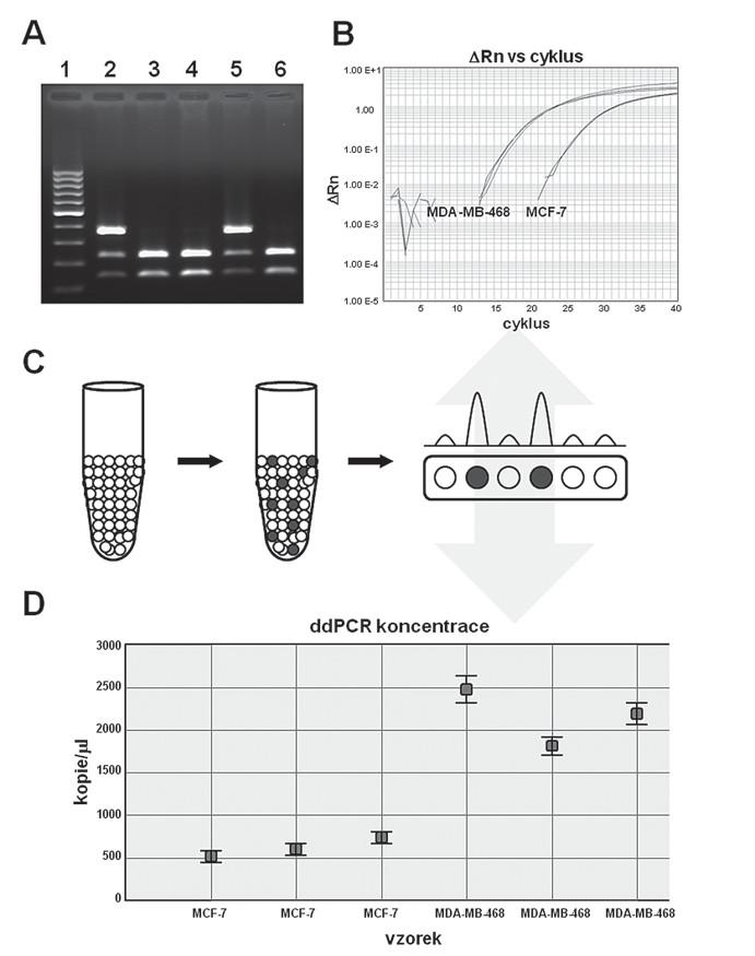 Přehled stěžejních PCR technologií. A. Tradiční PCR; B. PCR v reálném čase; C. digitální PCR – schematická ukázka frakcionace vzorku a následné vyhodnocení; D. konkrétní ukázka výsledků získaných pomocí digitální PCR (ddPCR), pro zajímavost tytéž vzorky byly paralelně analyzovány pomocí PCR v reálném čase viz část B.