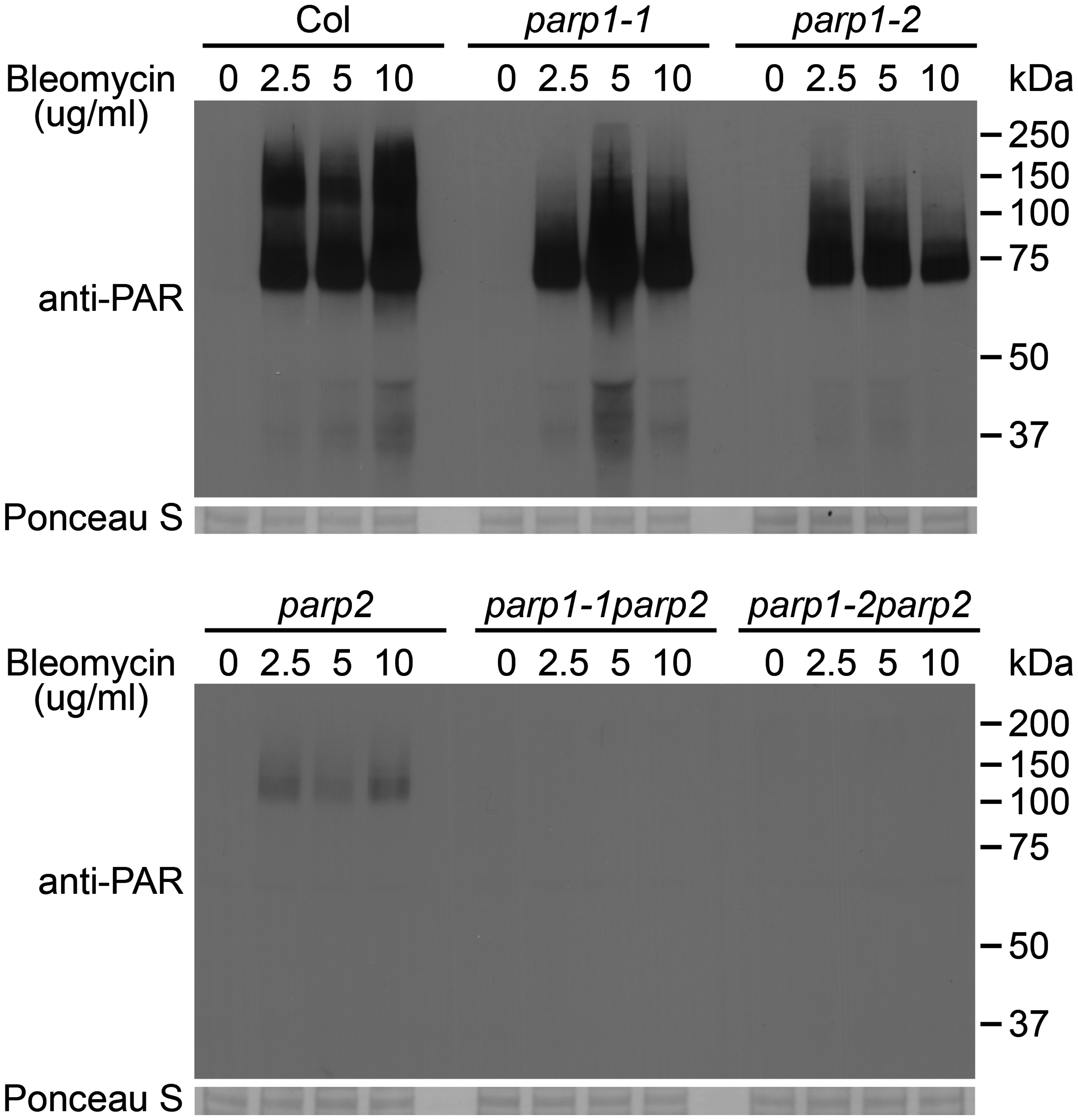 PARP2 plays a dominant role in DNA damage response after bleomycin treatment.
