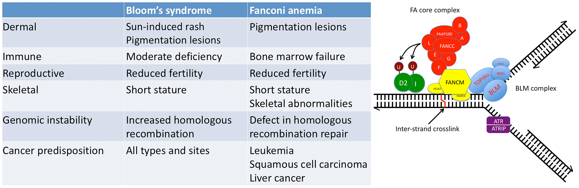 Fanconi anemia (FA) and Bloom's syndrome (BS) overlap at the clinical and molecular levels.