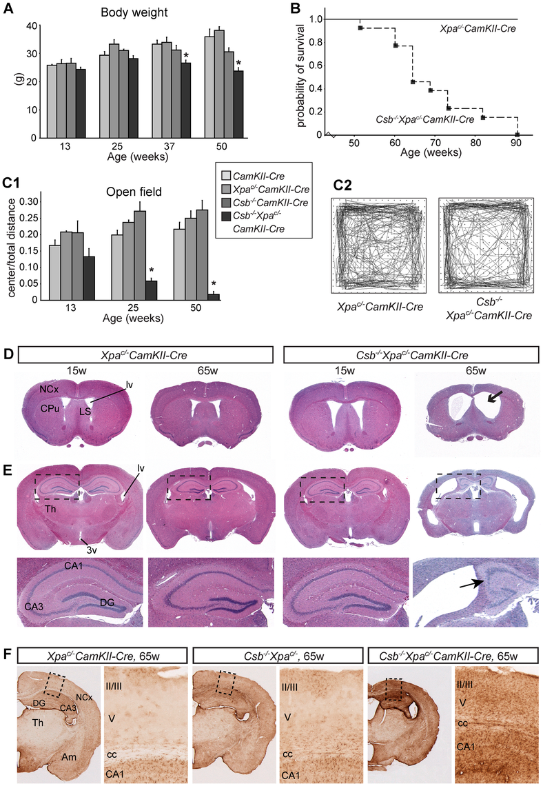Reduced lifespan, age-dependent behavioral abnormalities, and brain atrophy in forebrain neuron-specific knockout of <i>Xpa</i> in <i>Csb<sup>−/−</sup></i> mice.