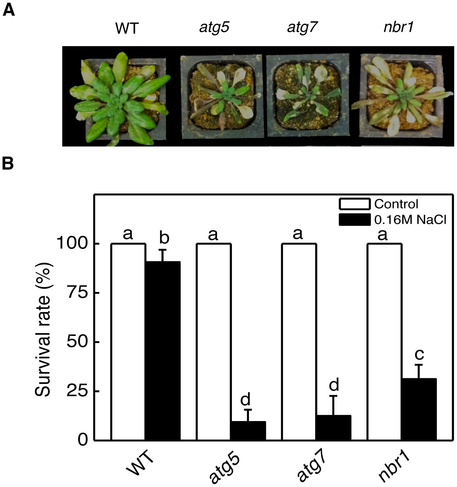 Enhanced sensitivity of <i>atg5</i>, <i>atg7</i>, and <i>nbr1</i> mutants to drought and salt stresses.
